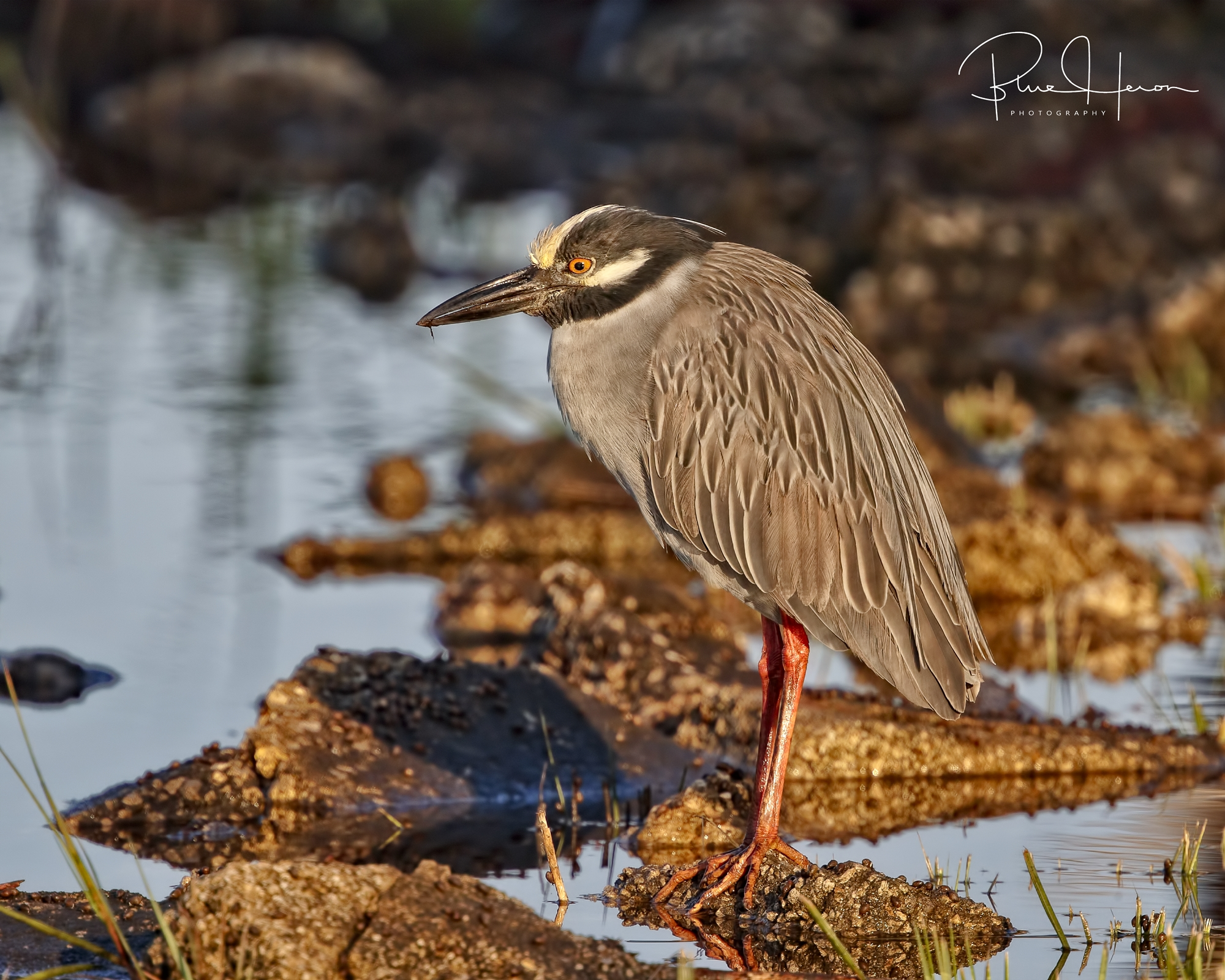 George, the Yellow-crowned Night Heron retuned for a visit...his mate should arrive soon too