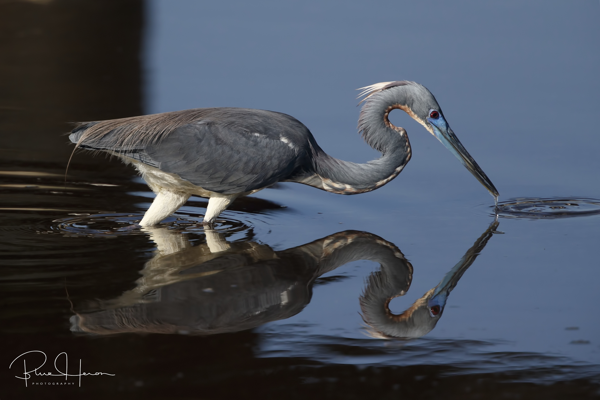 Got one! Tricolored Heron with minnow