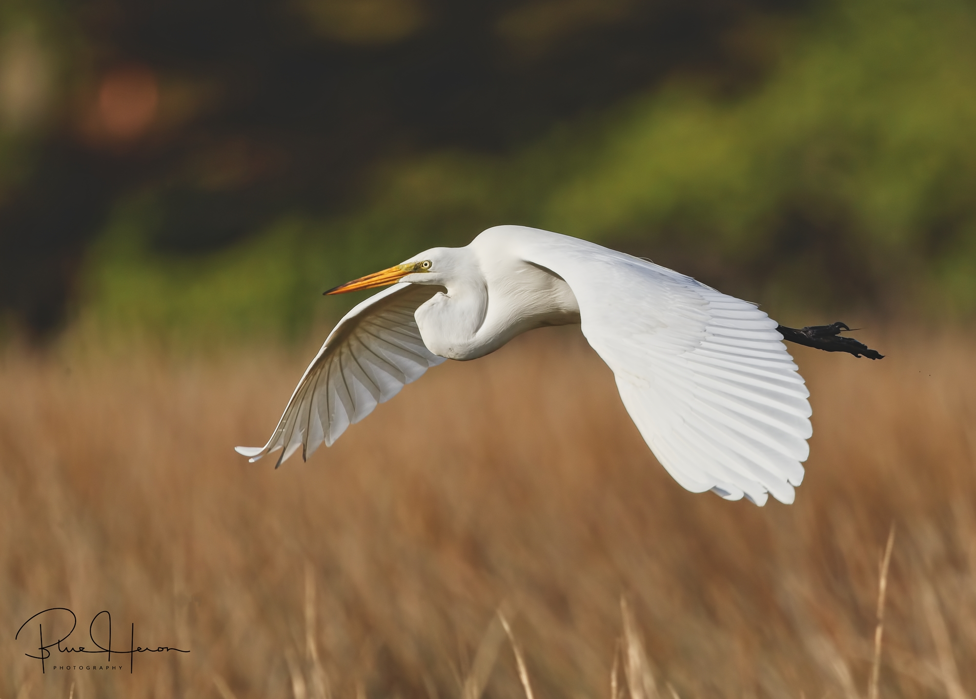 Morning Grace...Great Egret glides up the Broward..Blessing!