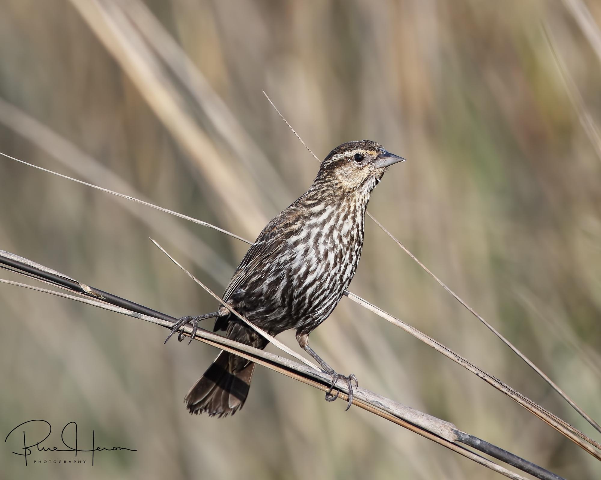 Red-winged Blackbird female balances on the marsh grass..