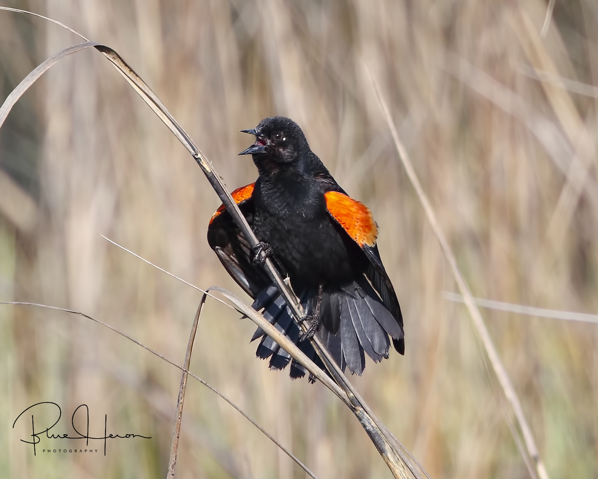 Male Red-winged Blackbird flashes his arm bands..