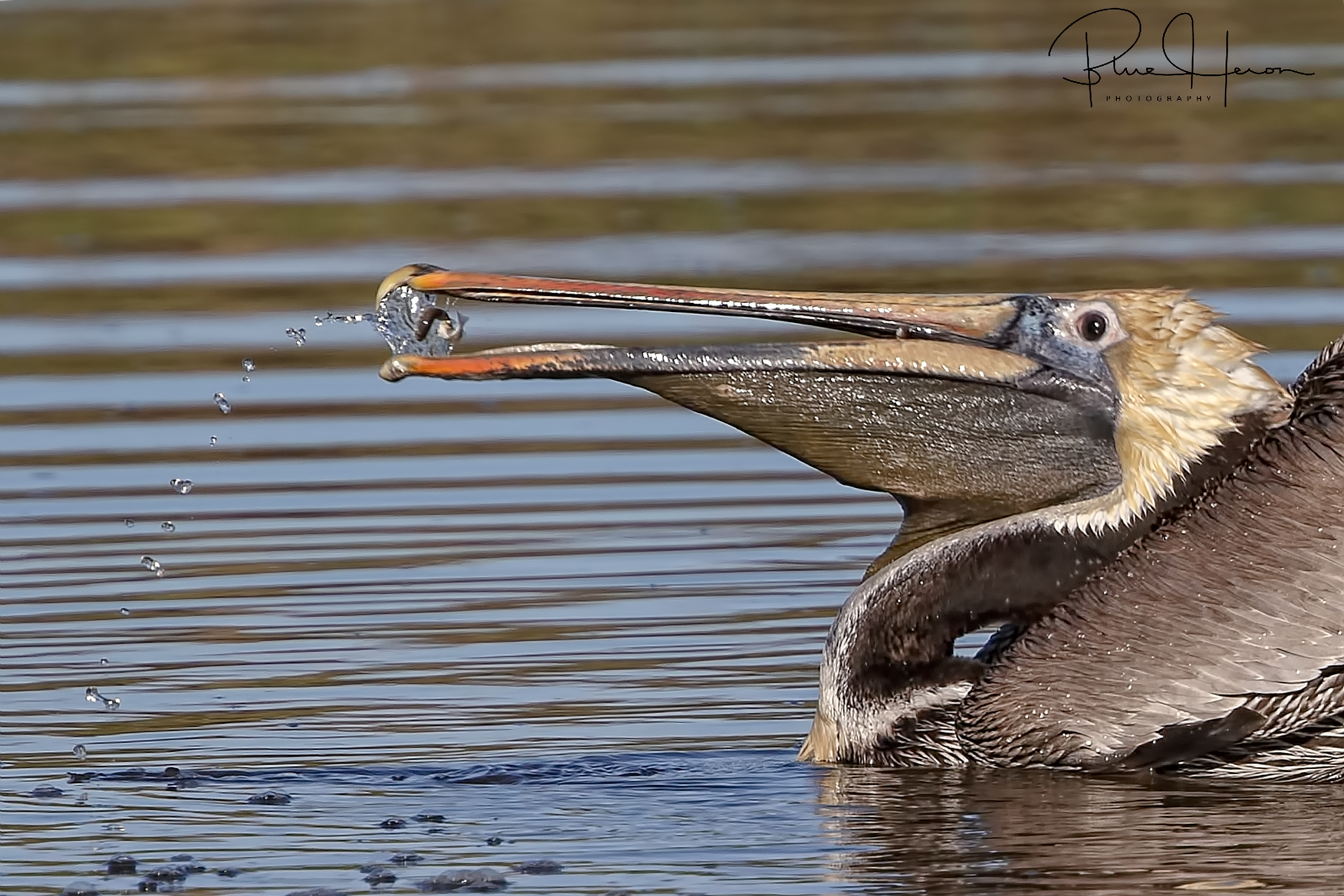 Was amazed to see how adept the Pelicans can be with that huge beak. This one plucked a minnow as if using chopsticks