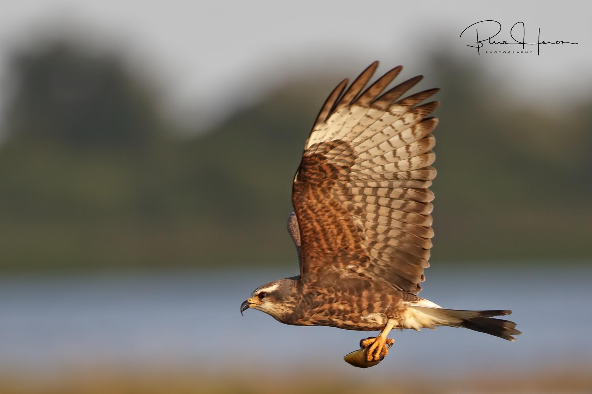 Female kite bringing in snail