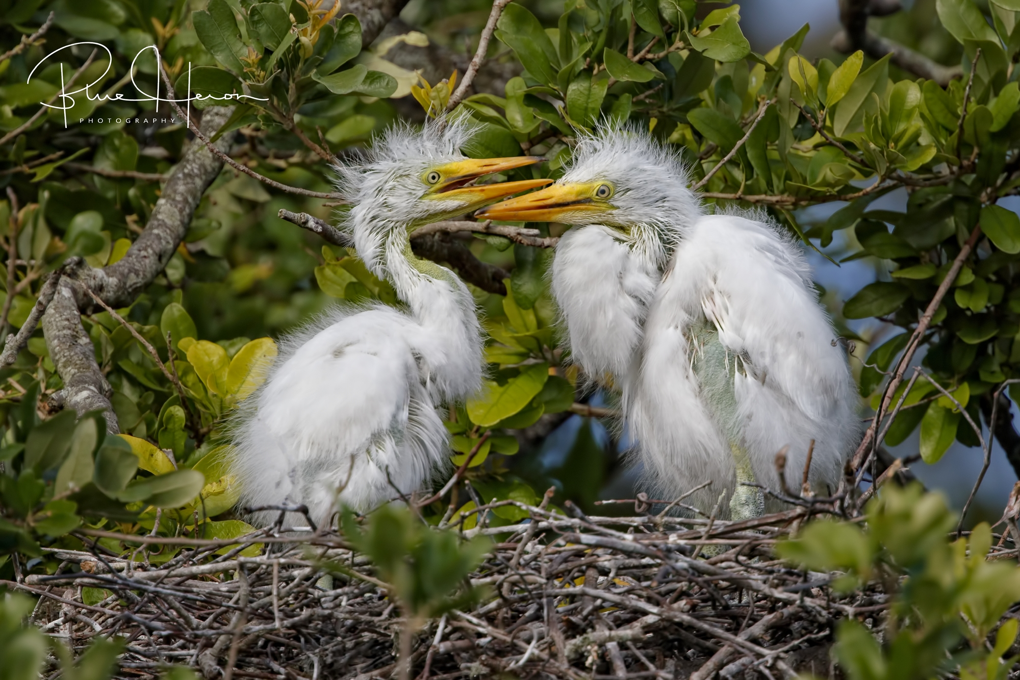 Another pair of siblings argue over who Mom likes the best..Great Egret hatchlings..