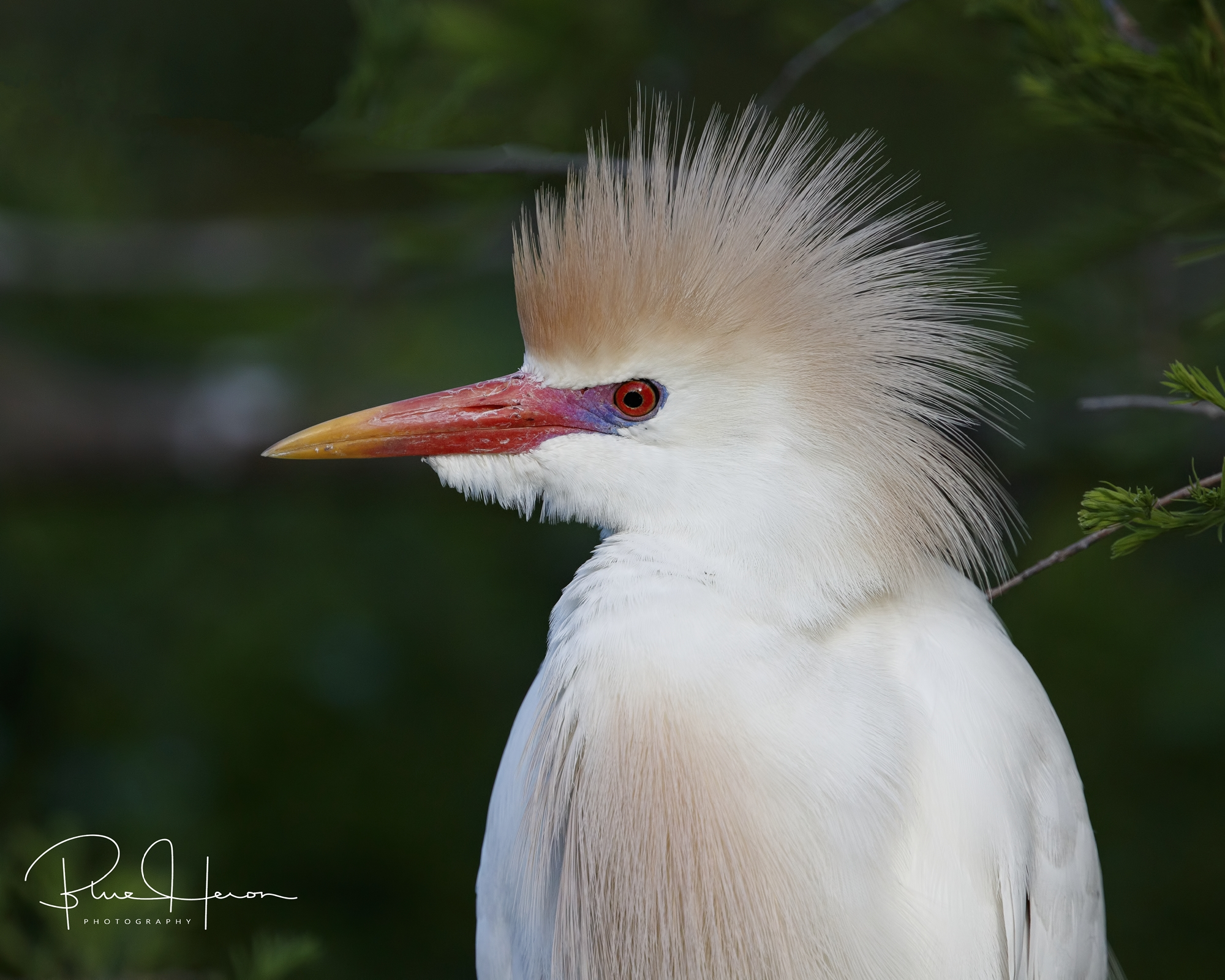 Cattle Egret male in breeding plumage..nice hair feathers!