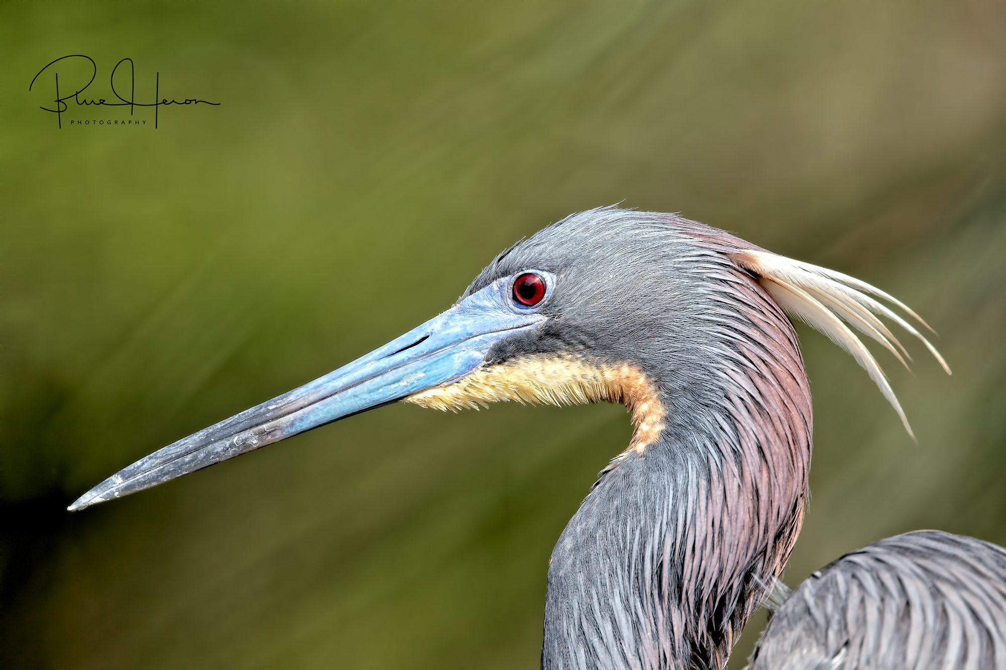 Tricolored Heron in breeding plumage...geesh and me ready for Medicare...birds got it made..