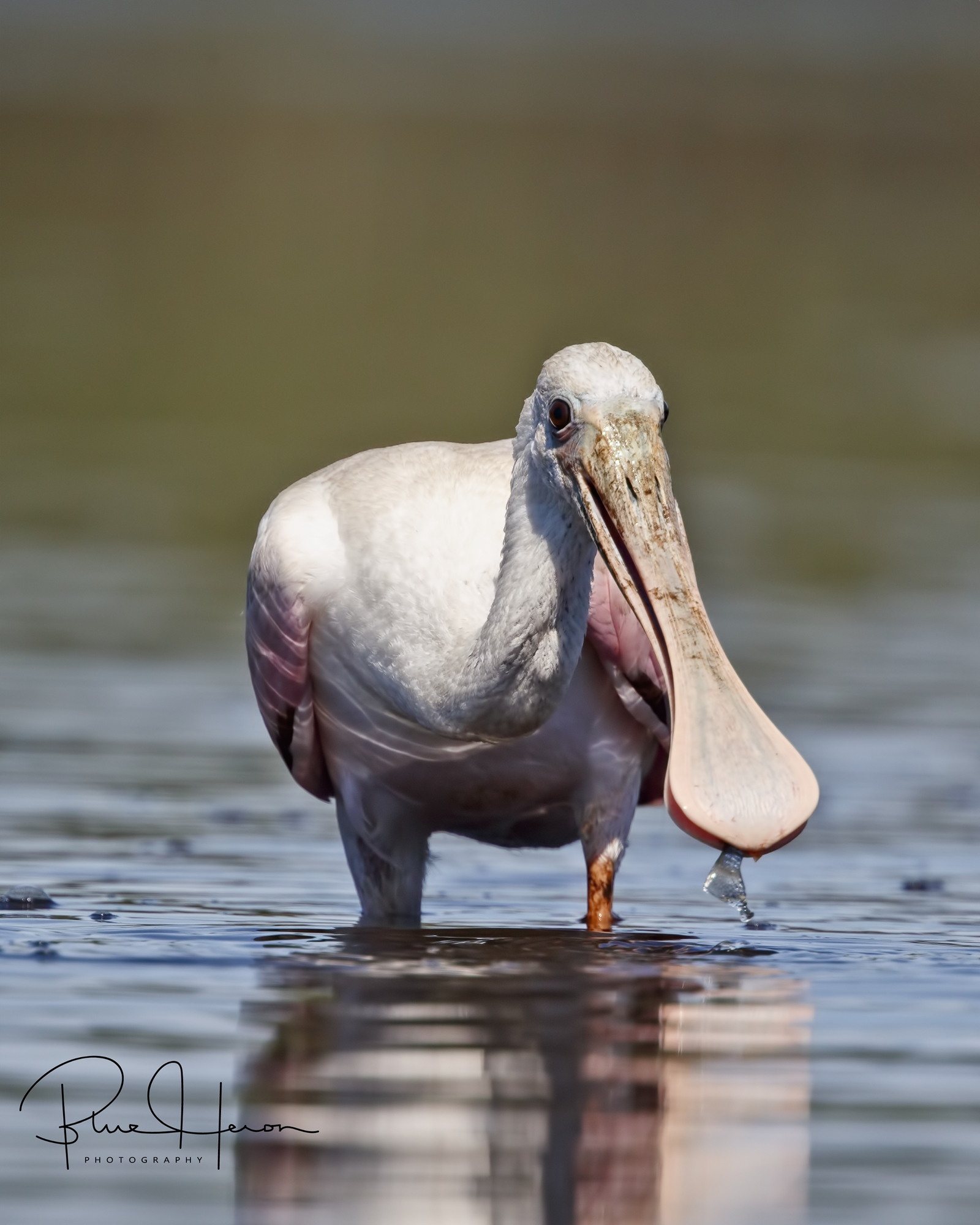 Roseate Spoonbill on the Broward with a fish snack..