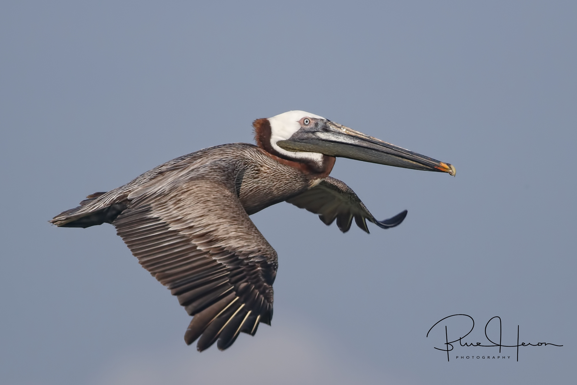 Eastern Brown Pelican in breeding coloration with rich brown stripe on the neck..Males are slightly larger than females