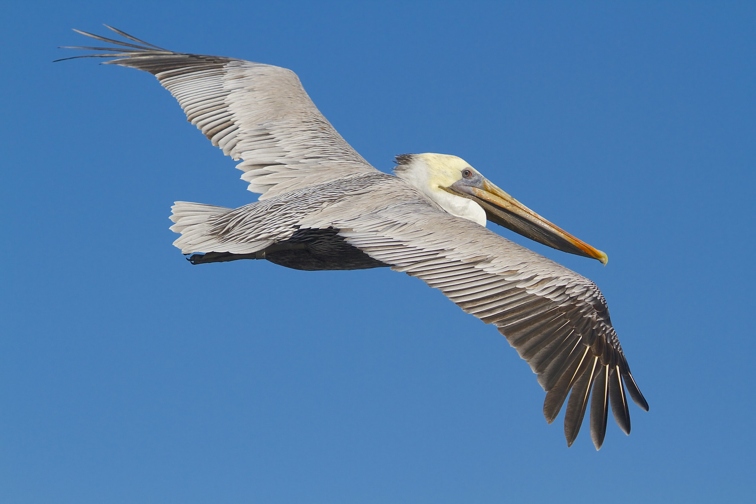 Non Breeding Adult Eastern Brown Pelican,