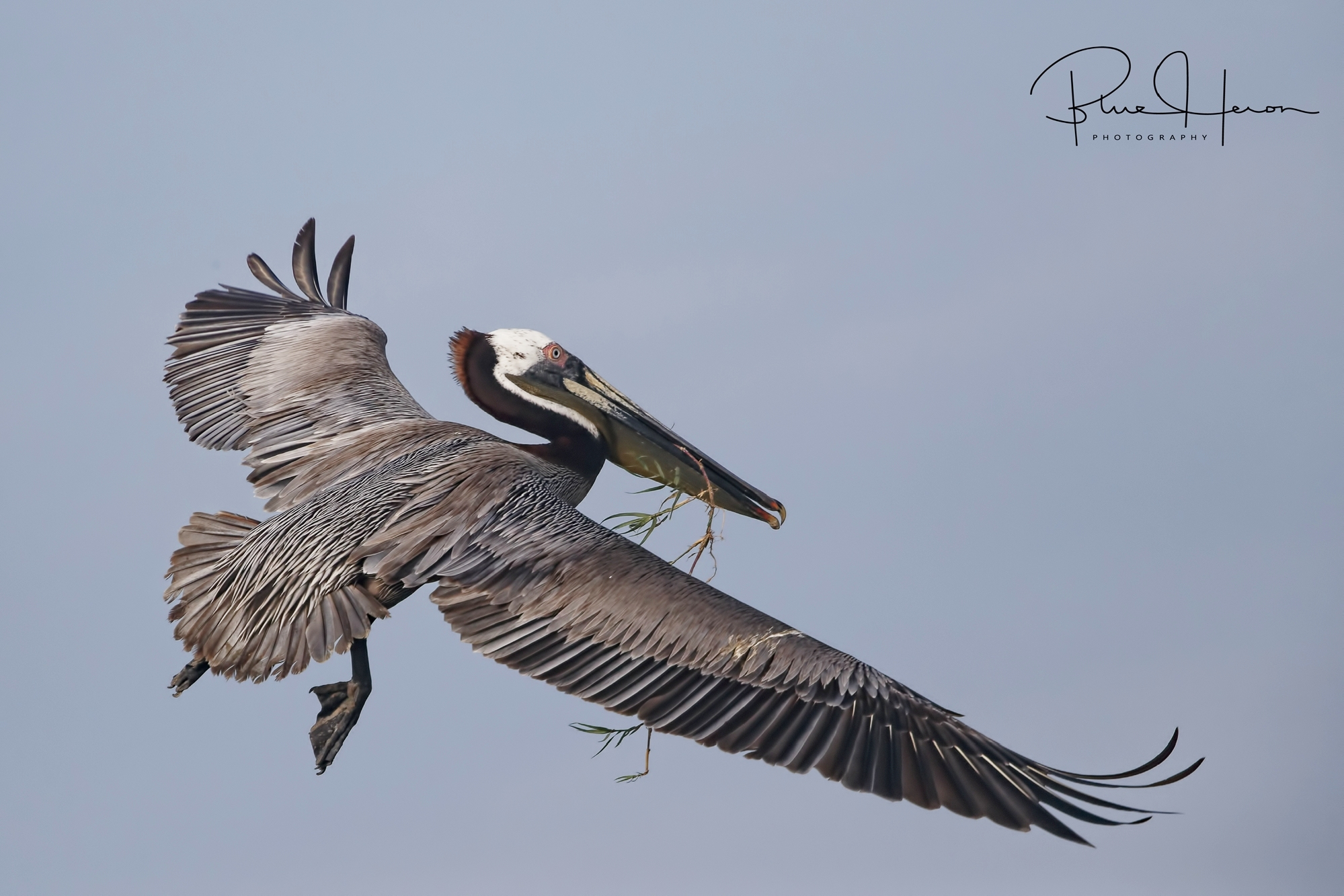 Brown Pelican bringing nesting material to the nest site