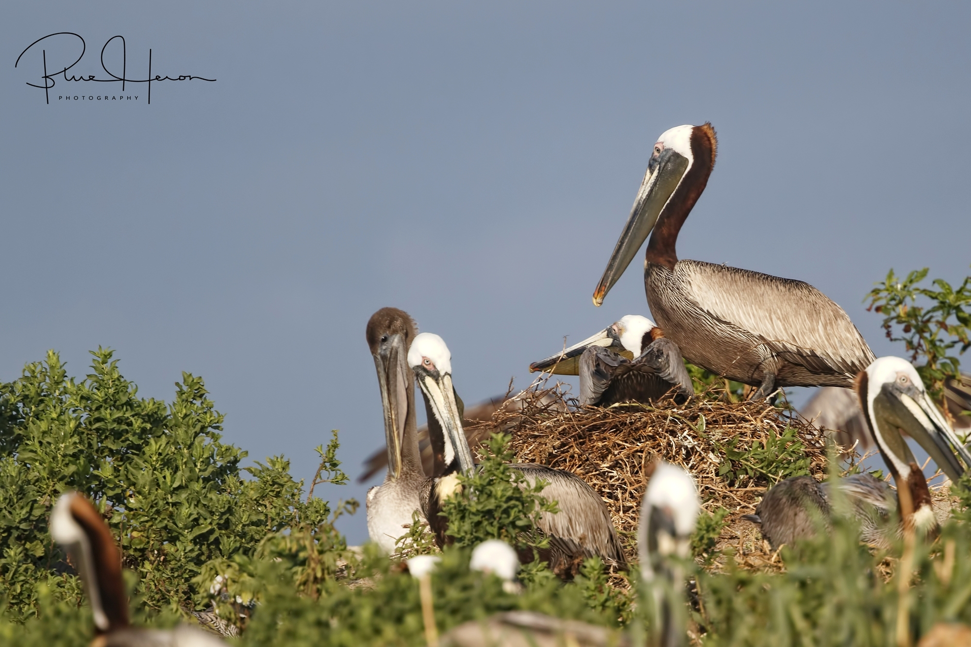 A large colony of Brown Pelicans have established a nesting colony in the dunes..space is at a premium and shared with the Laughing Gulls and Royal Terns..