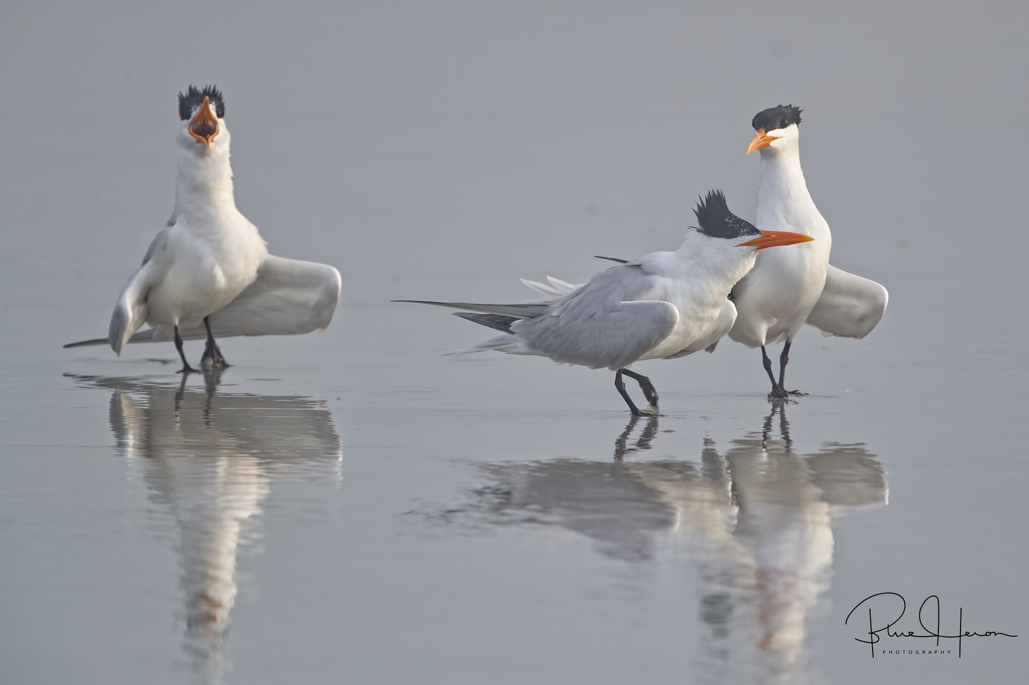 Royal Terns exhibiting mating and strutting posture reflect in the wet beach sand
