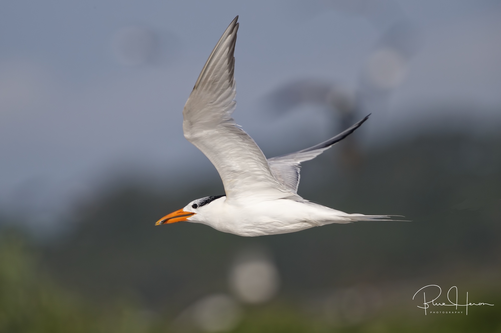 Royal Tern bringing minnow snack back to the nesting site