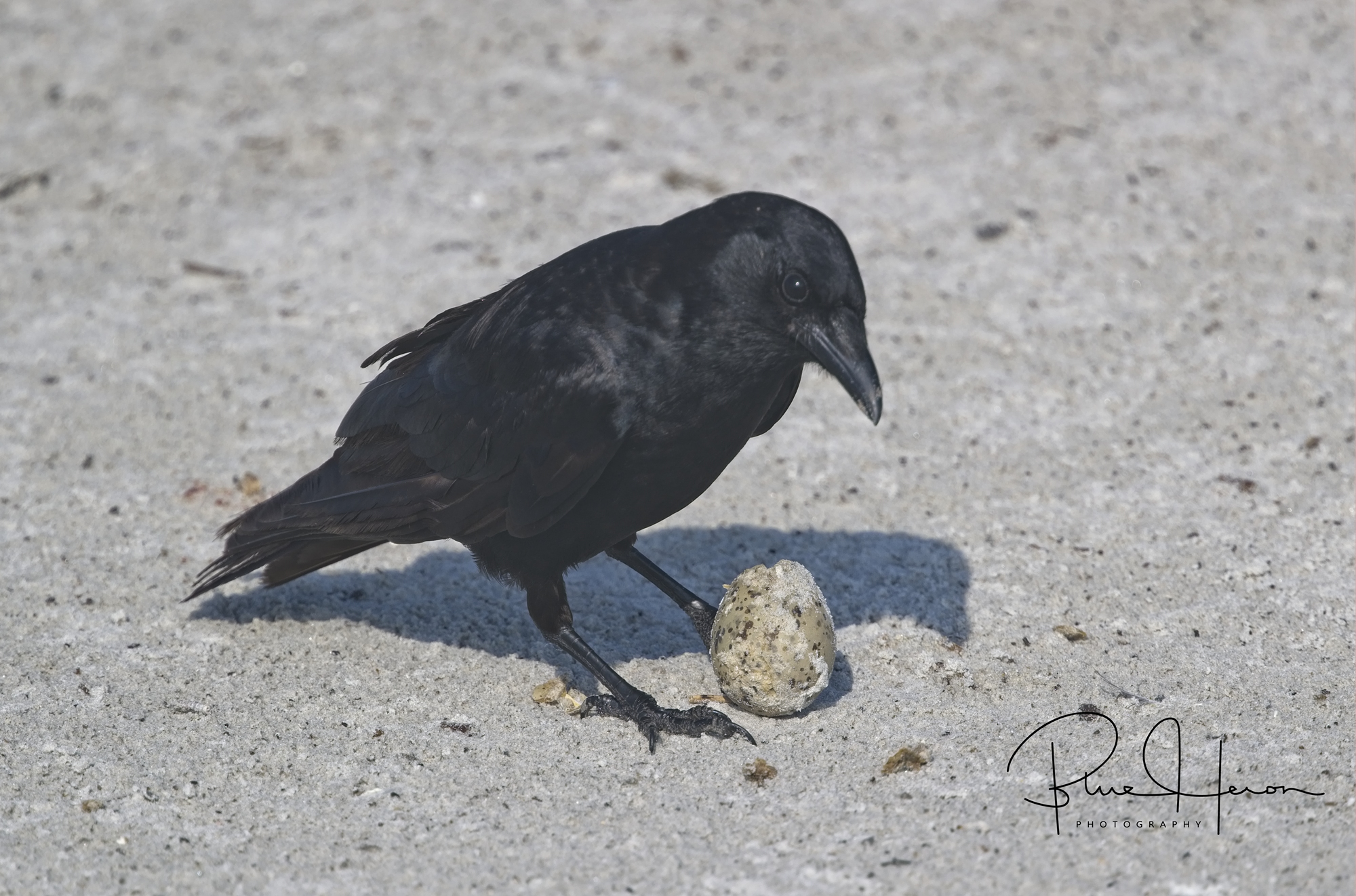 Crow with Laughing Gull egg....they rob any unattended nest and eat the egg. The dune Colony life is precarious