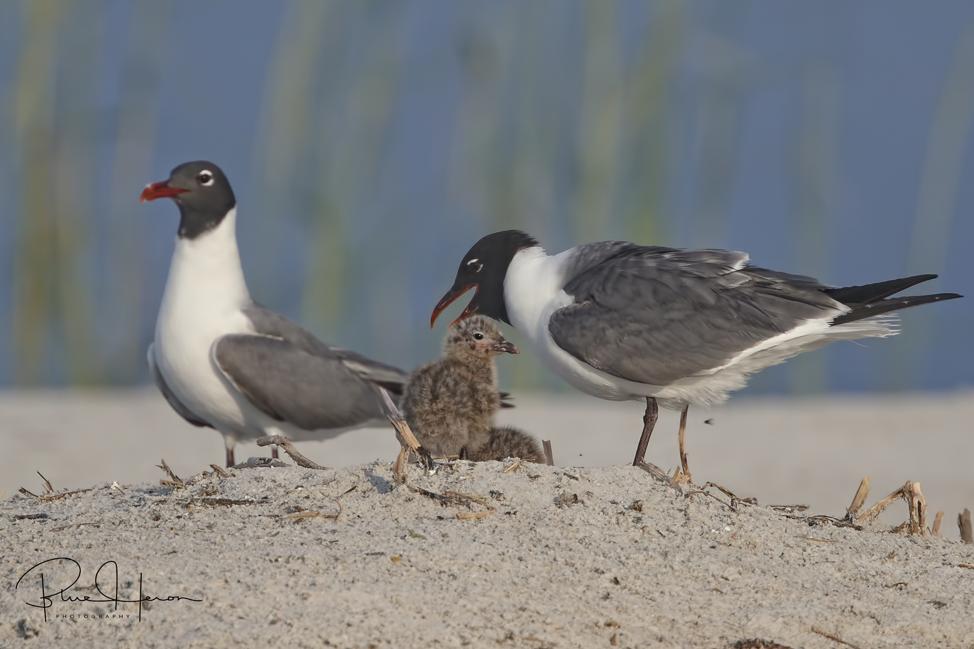 Laughing Gulls with recently hatched chicks