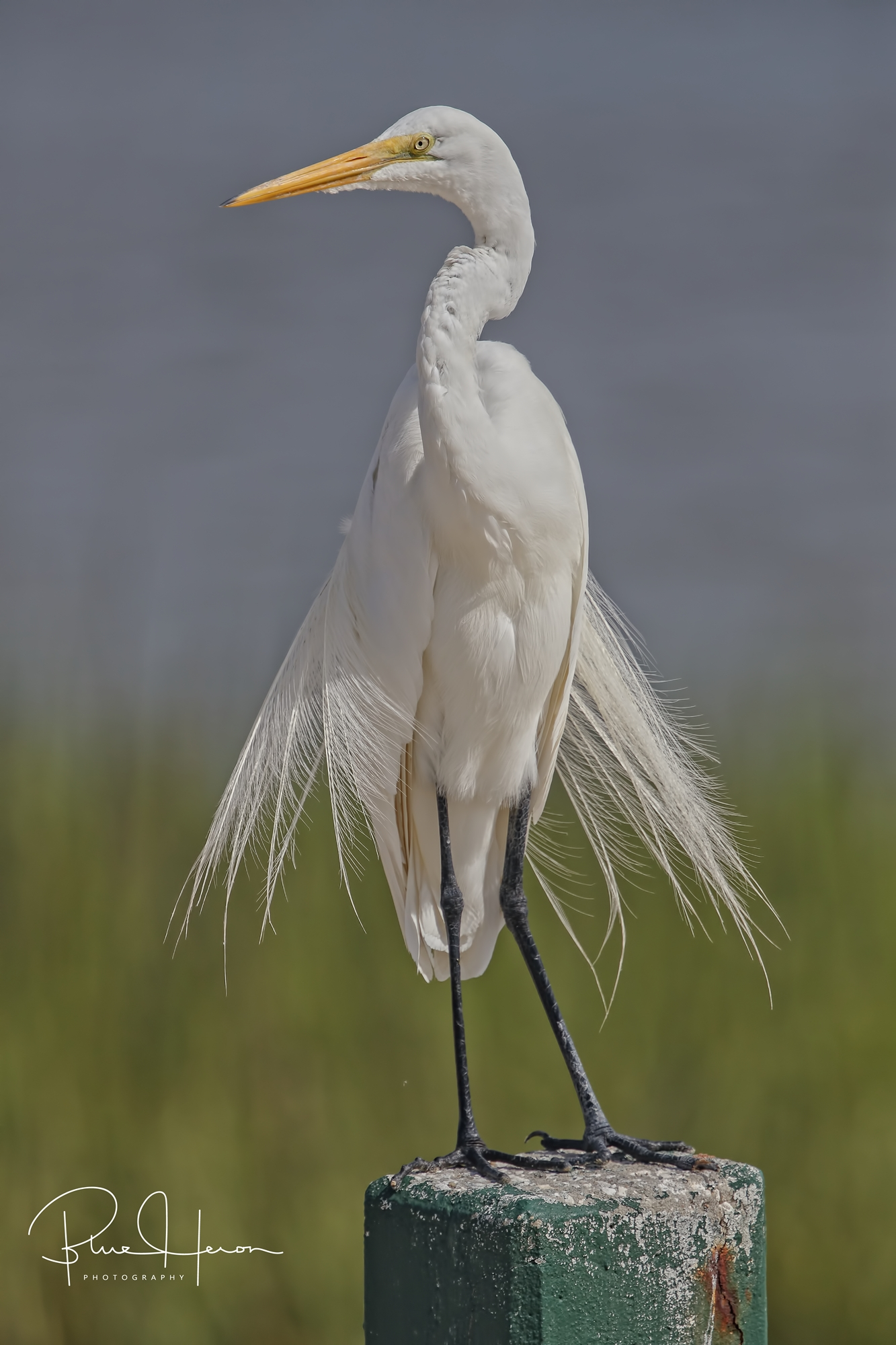 Eyes Right!...Great Egret checks out the local fishermen...