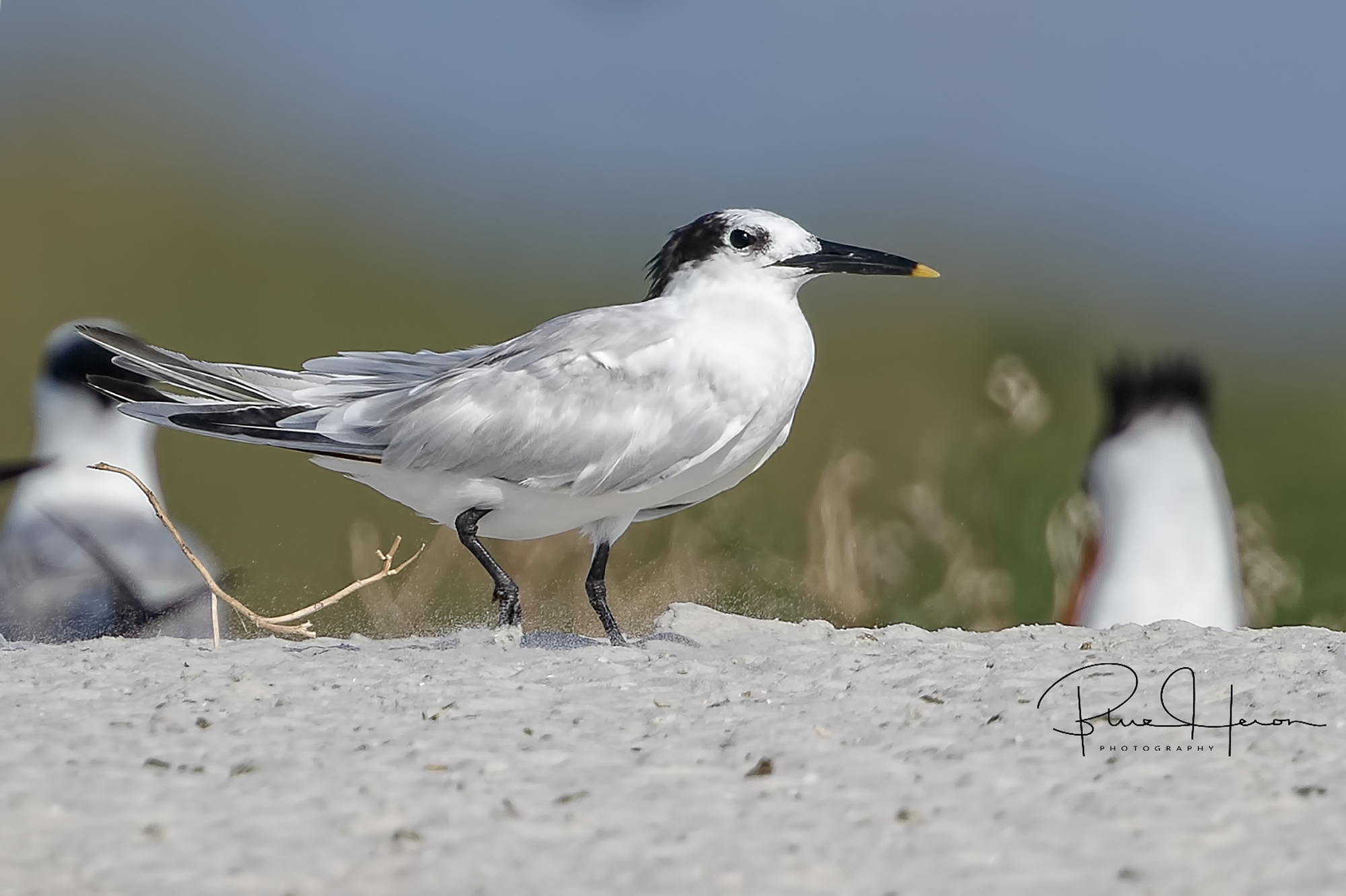A few Sandwich Terns are also found in the Dunes....If the beak looks dipped in mustard, it is a Sandwich Tern..