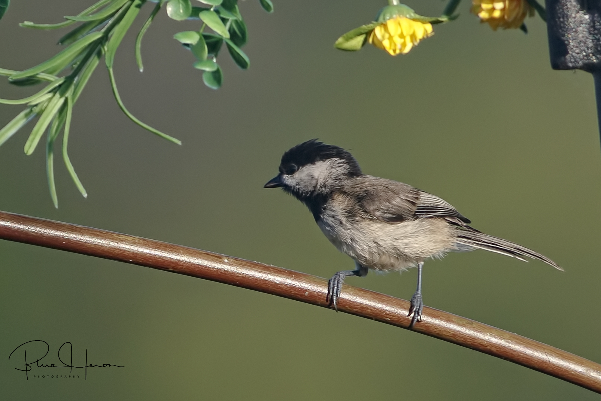 Young Carolina Chickadee