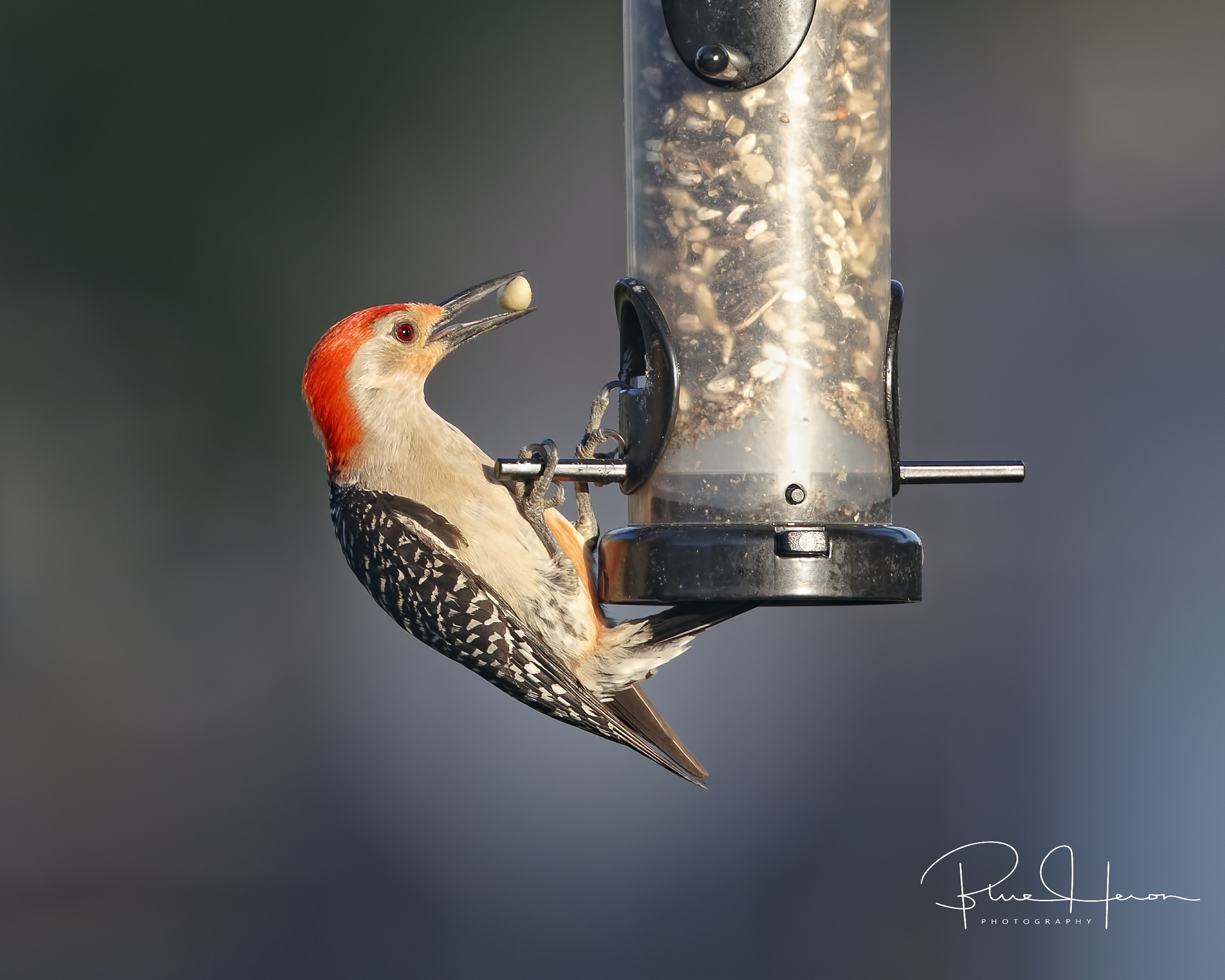 Yippee! Found the peanut!. Red-bellied Woodpecker with the prize