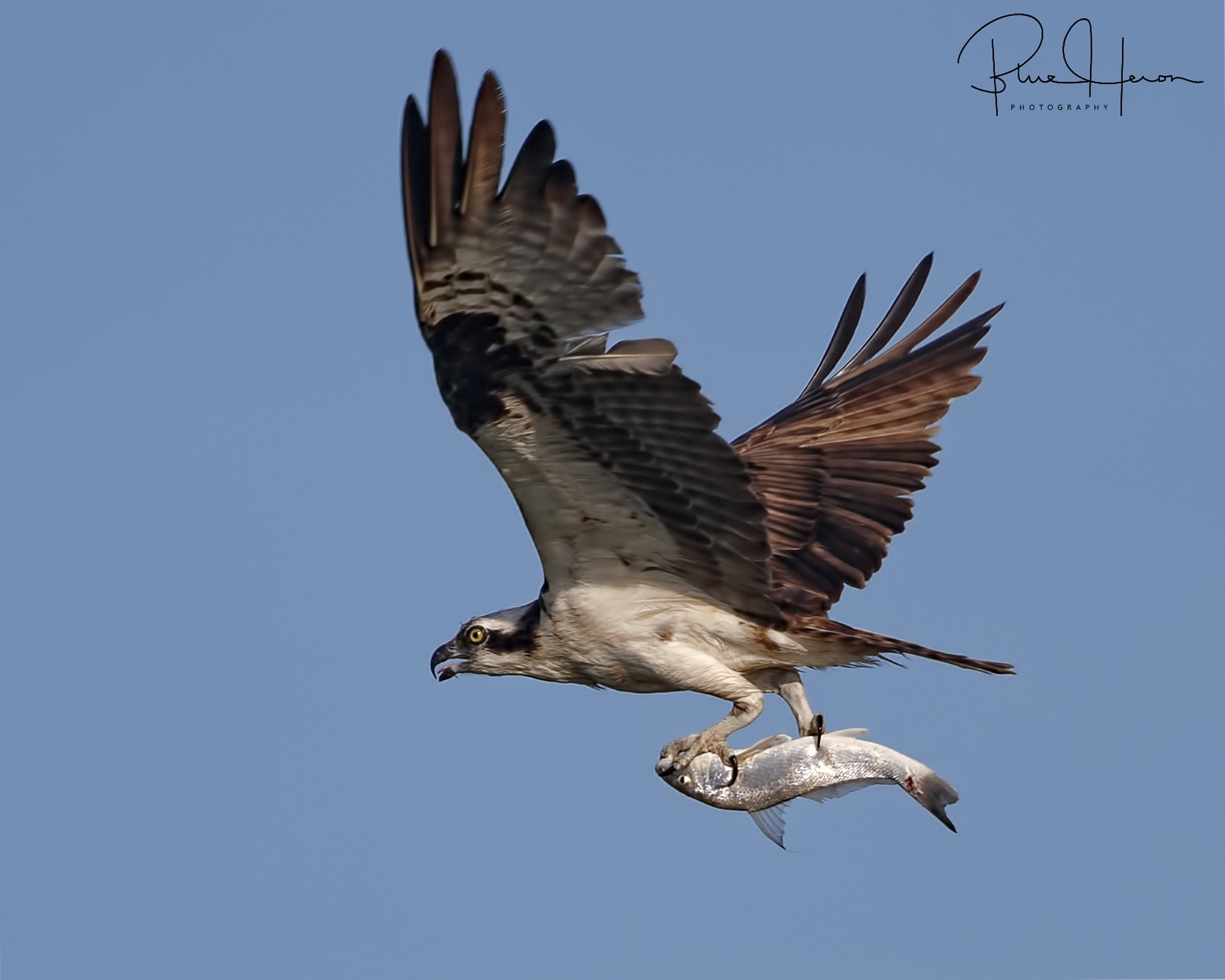 No Gull is going to steal this one from the Osprey!