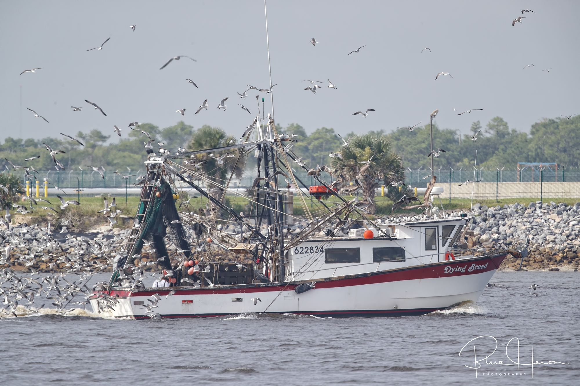 Dying Breed , a Mayport Shrimp Boat returns to port with a loyal following. Unfortunately these shrimpers are becoming dying breeds.