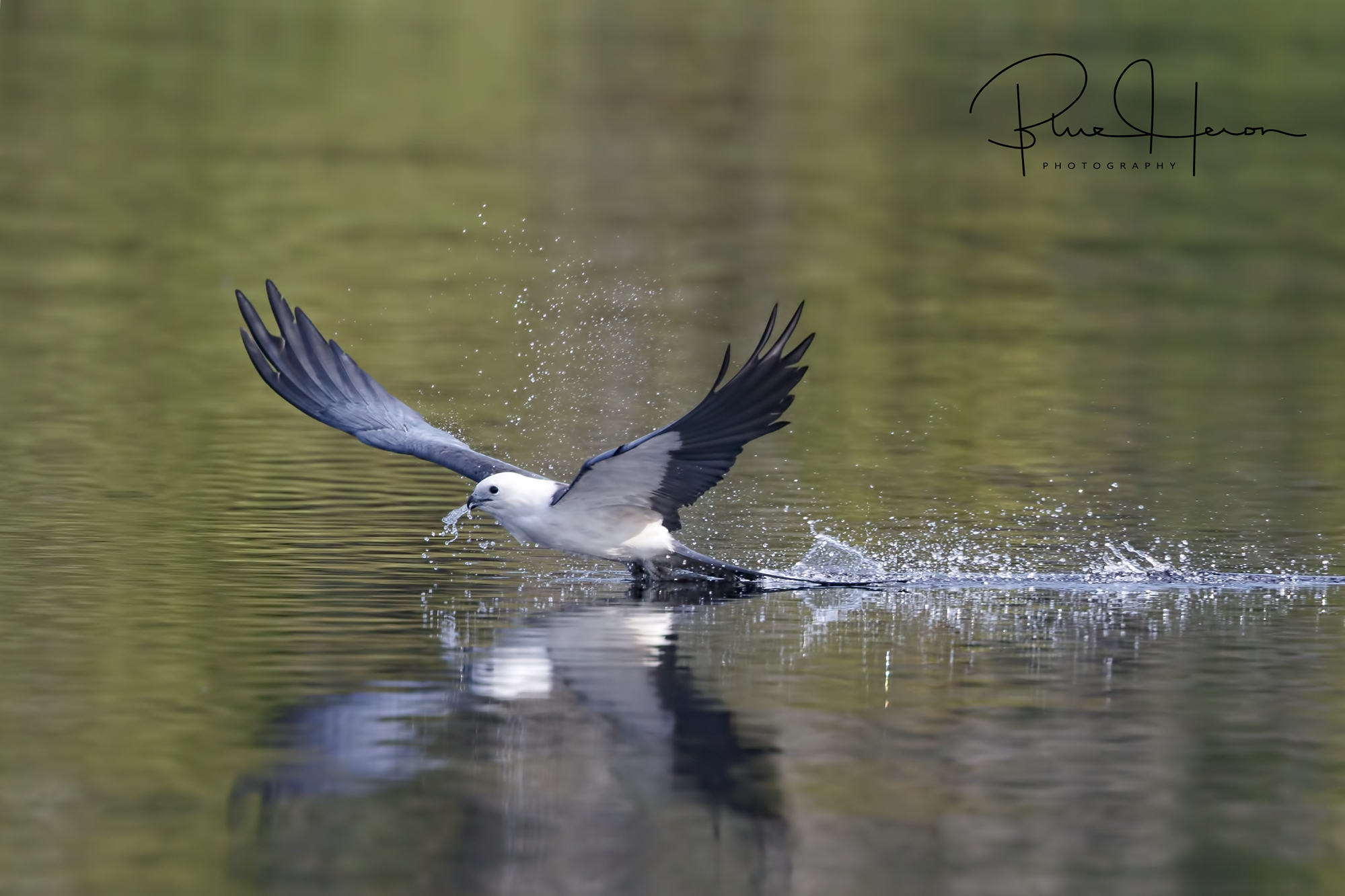 It is a challenge to catch them as they pull up from the skim with a beak full of water..