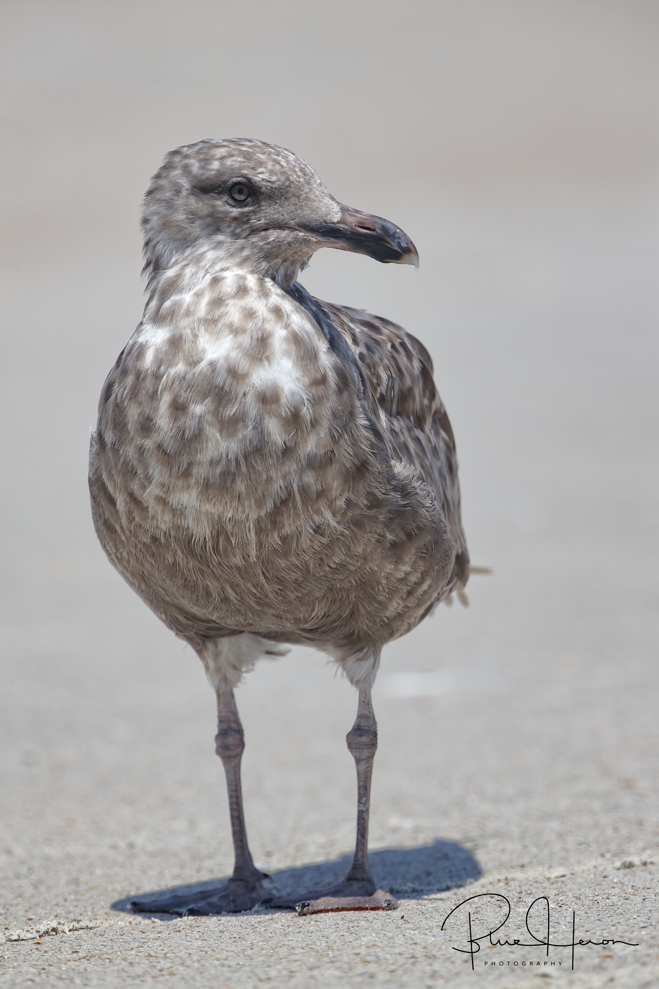 Juvenile Herring Gull...