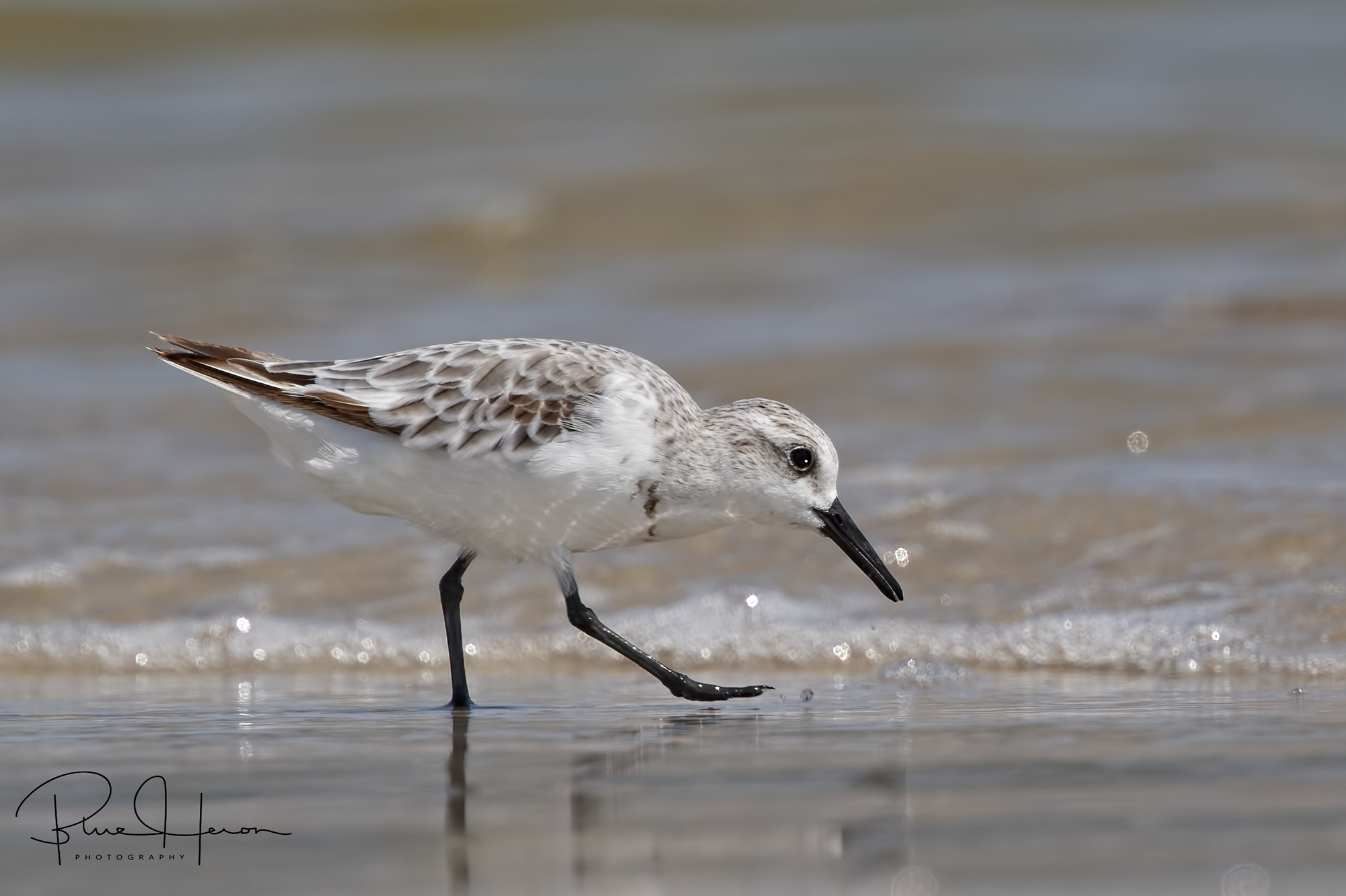 A lone Sanderling scours the surf for tidbits