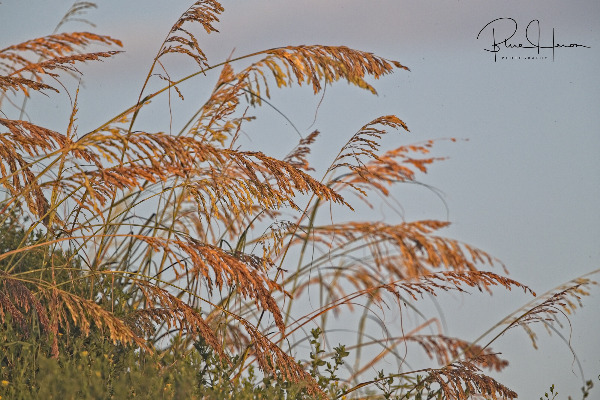 Sea Oats, a tall subtropical grass is an integral and important part of a healthy coastal dune environment.