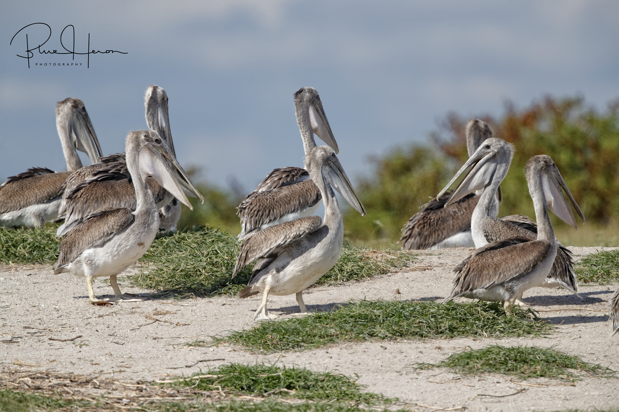 These young fledgling Brown Pelicans are ready to fly but can't stand the heat.