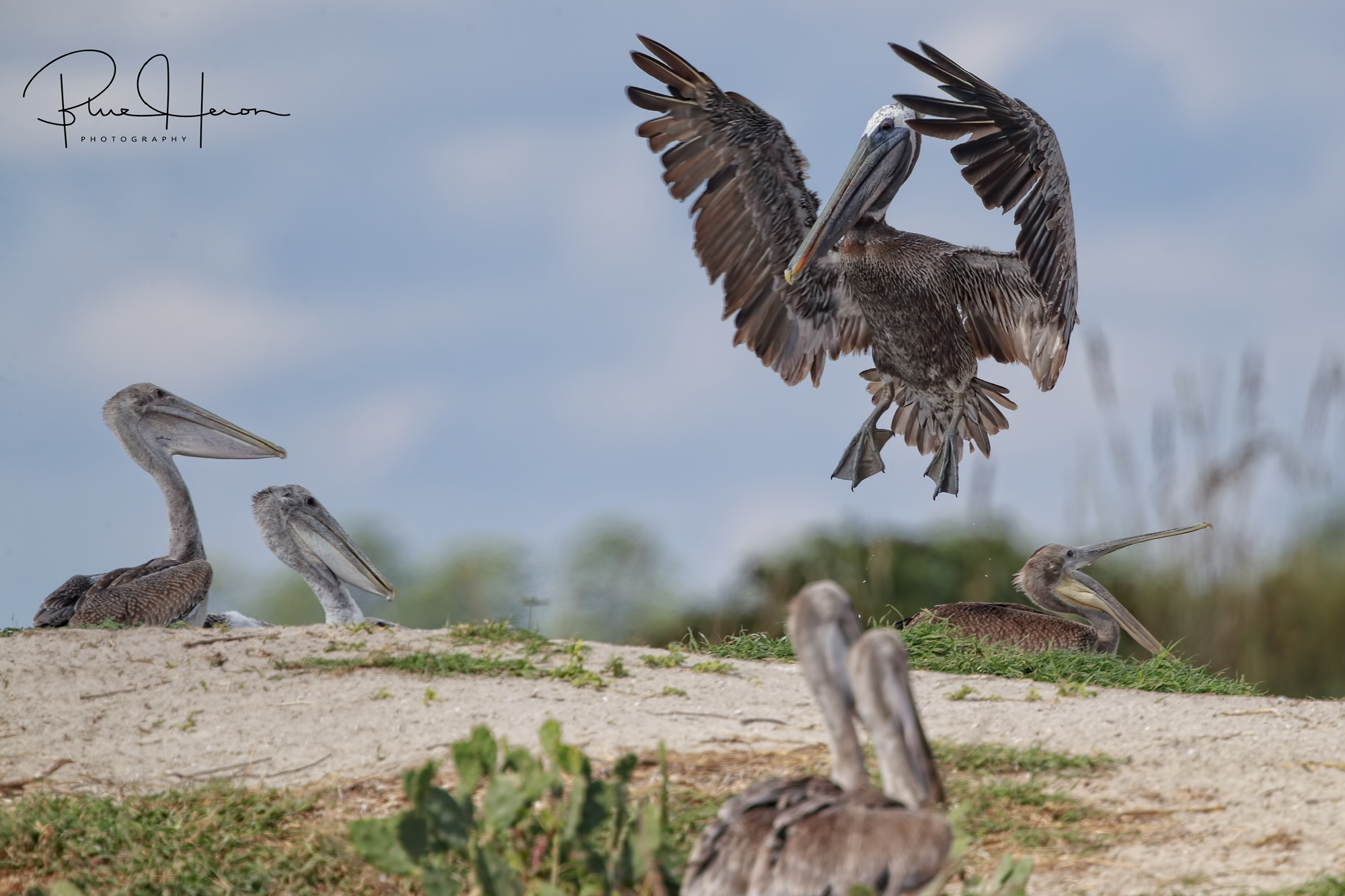 There were only one or two adults with the young Pelicans..