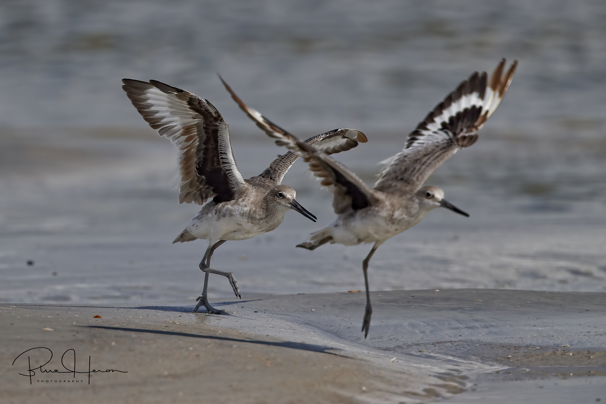 A pair of Willets came waltzing towards me with their distinctive wing stripes showing.