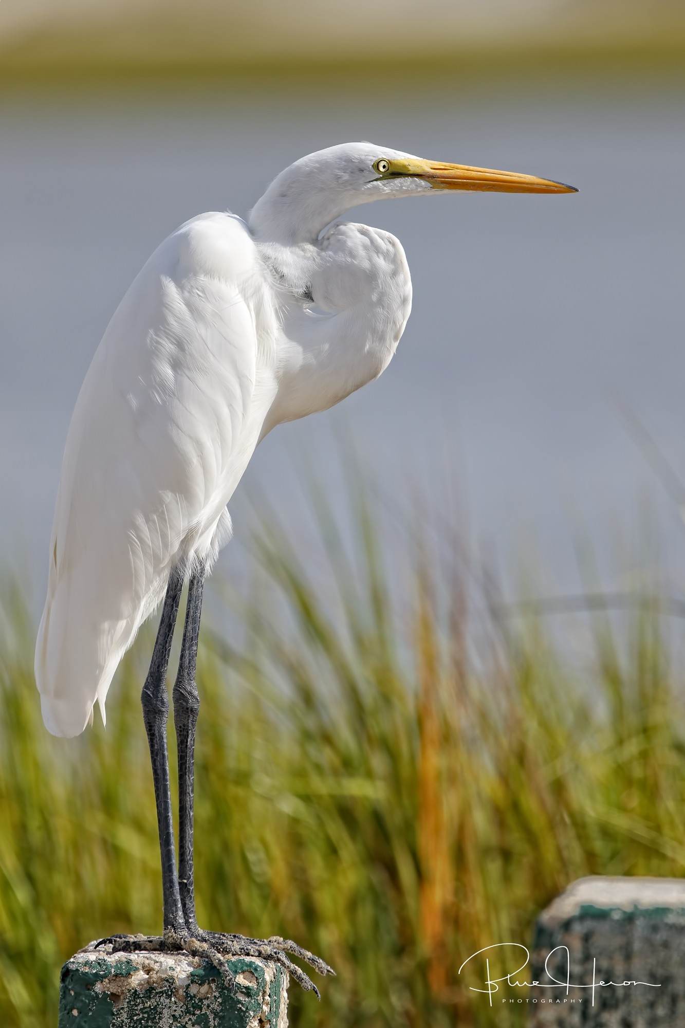 This Great Egret was keeping a close eye on the local fisherman...