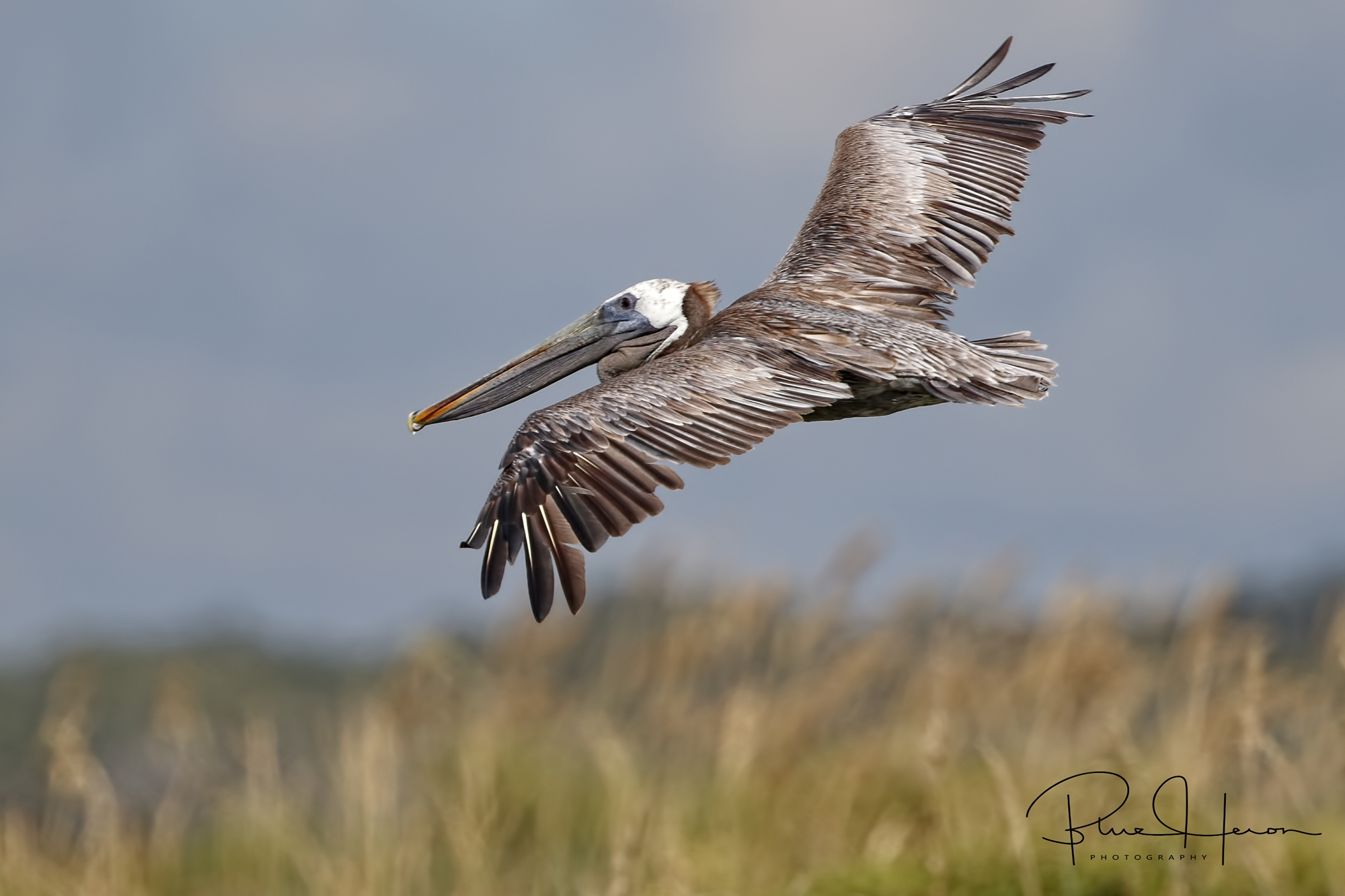 Brown Pelican soaring over the sea oat covered dunes..