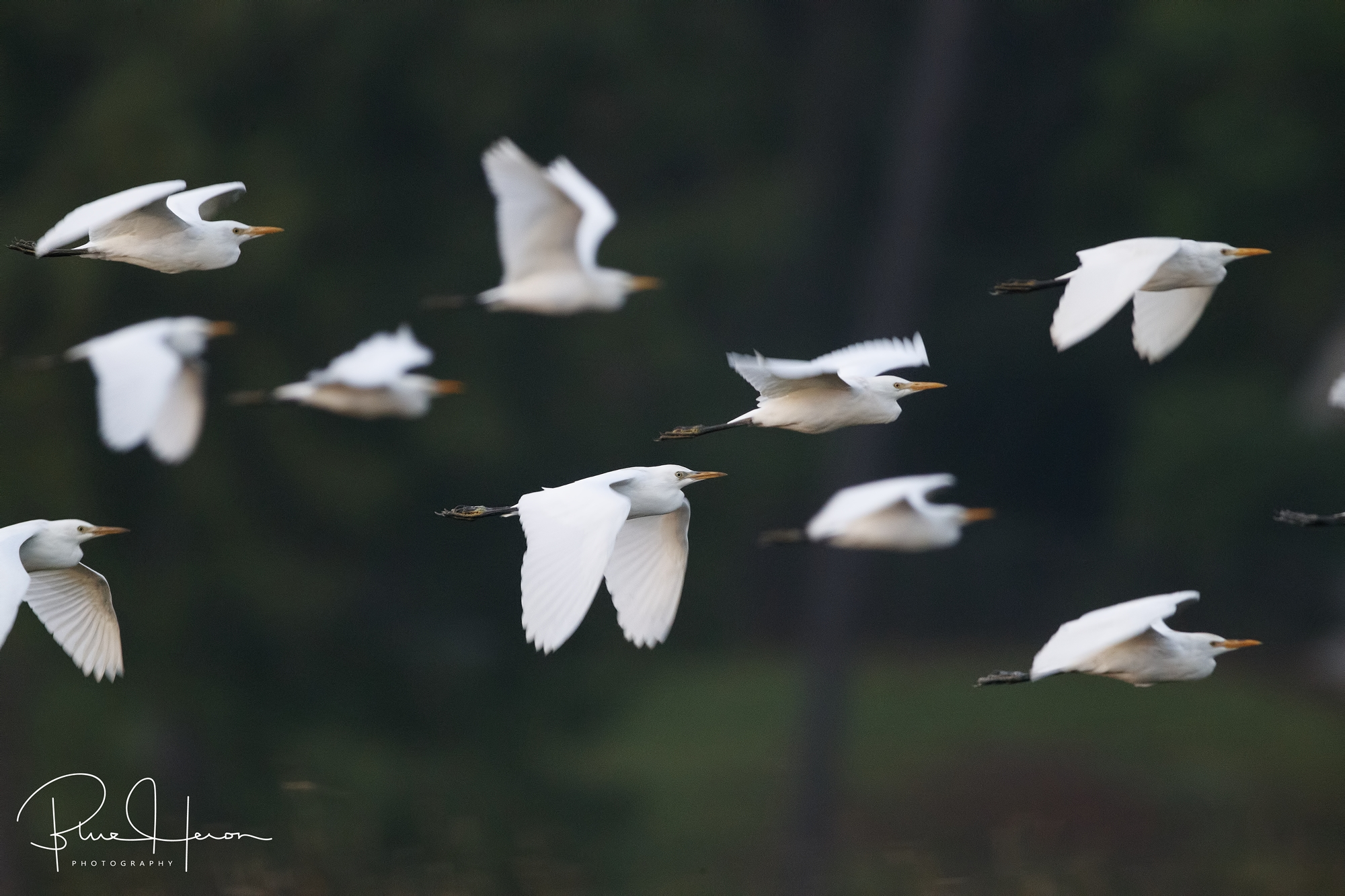 Blurry wingbeats of a flock of cattle egret in the pre-dawn light taken at 1/250th of a second