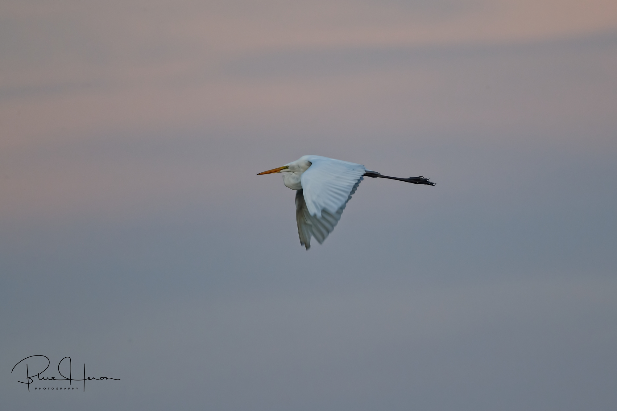 As the Egret wings by it captures the colors of the morning at 1/250th of a second