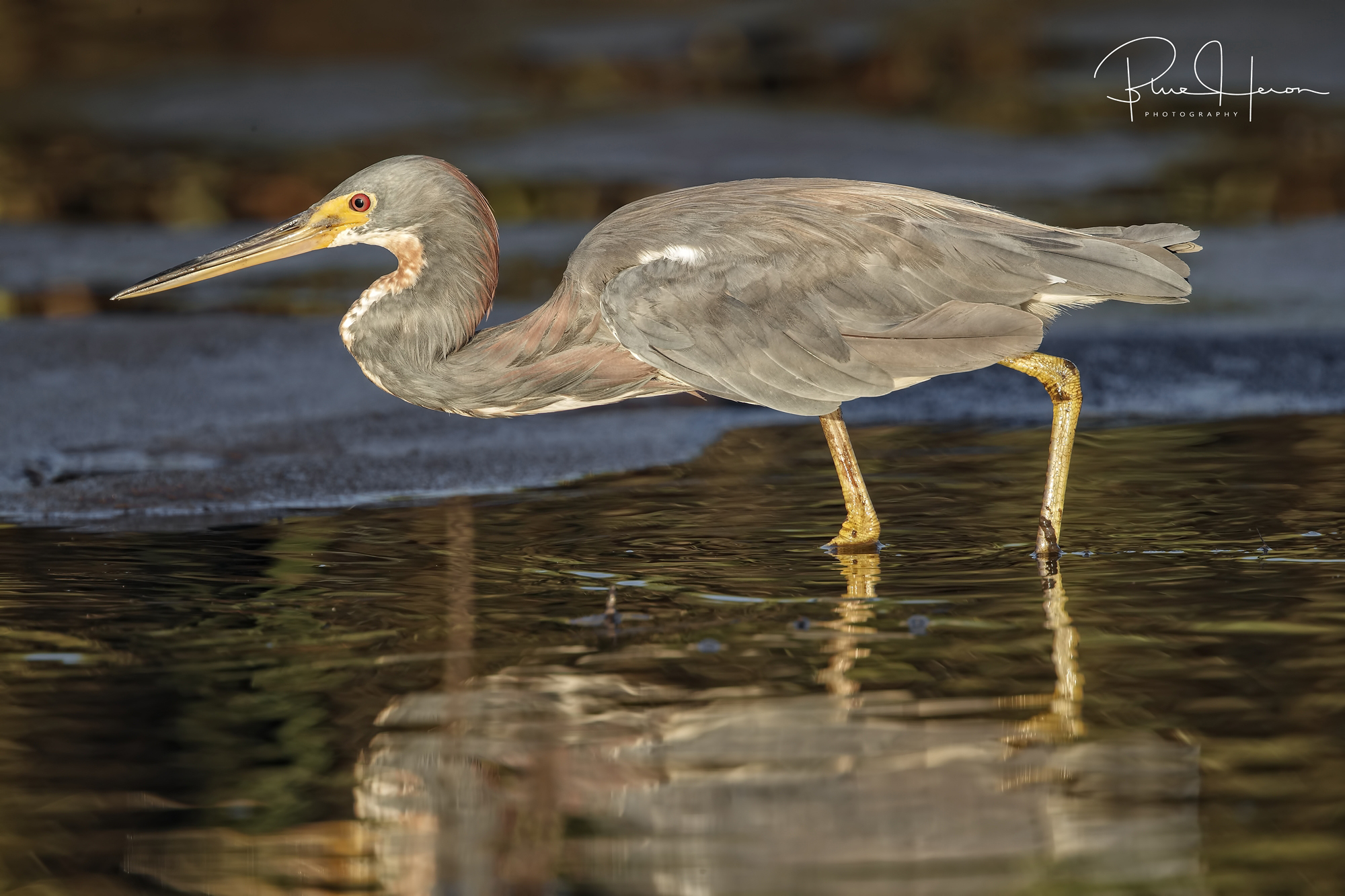 Did someone say minnows? Tricolored Heron on the hunt