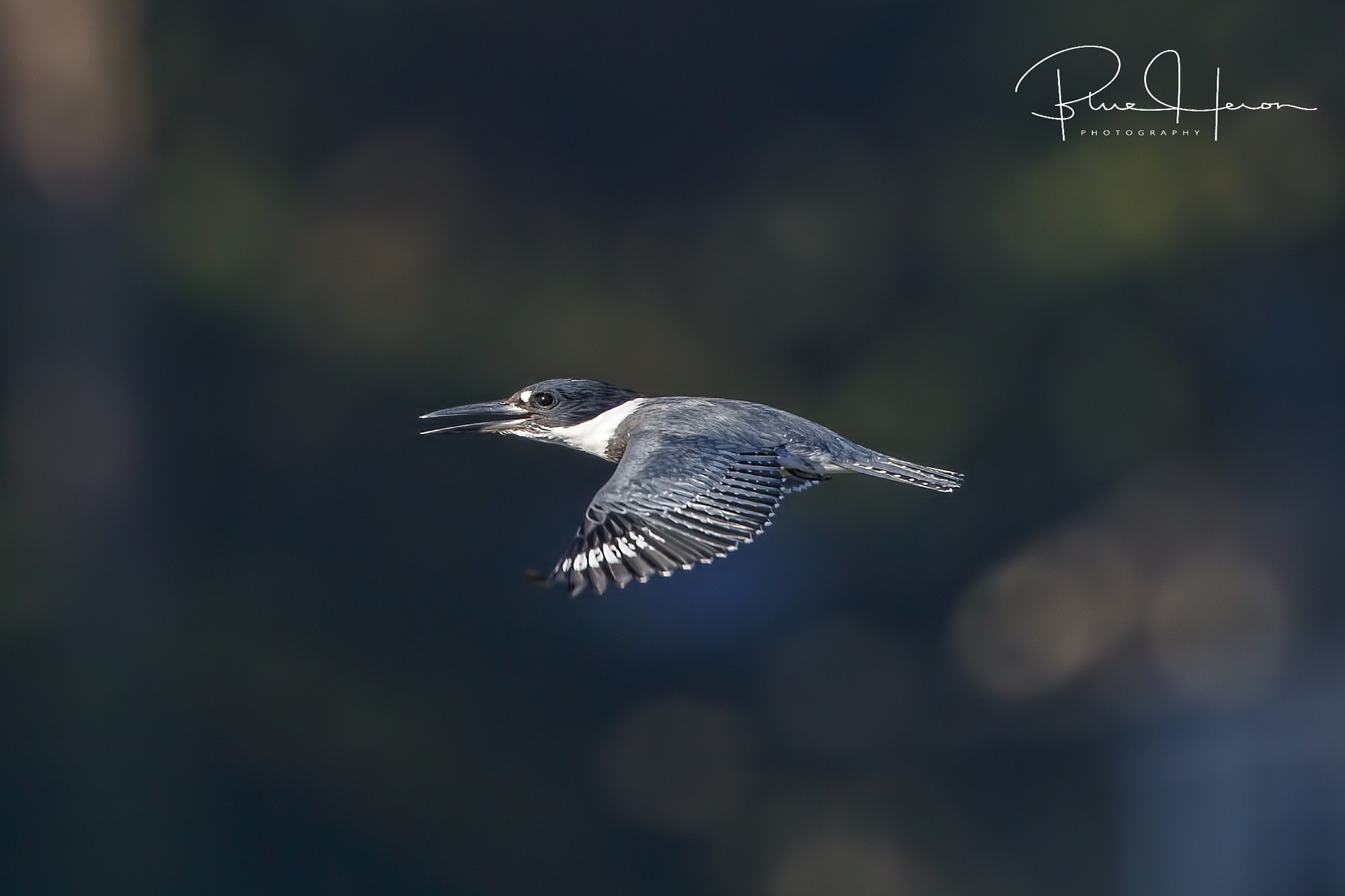 The Belted Kingfishers are back on the Broward too!