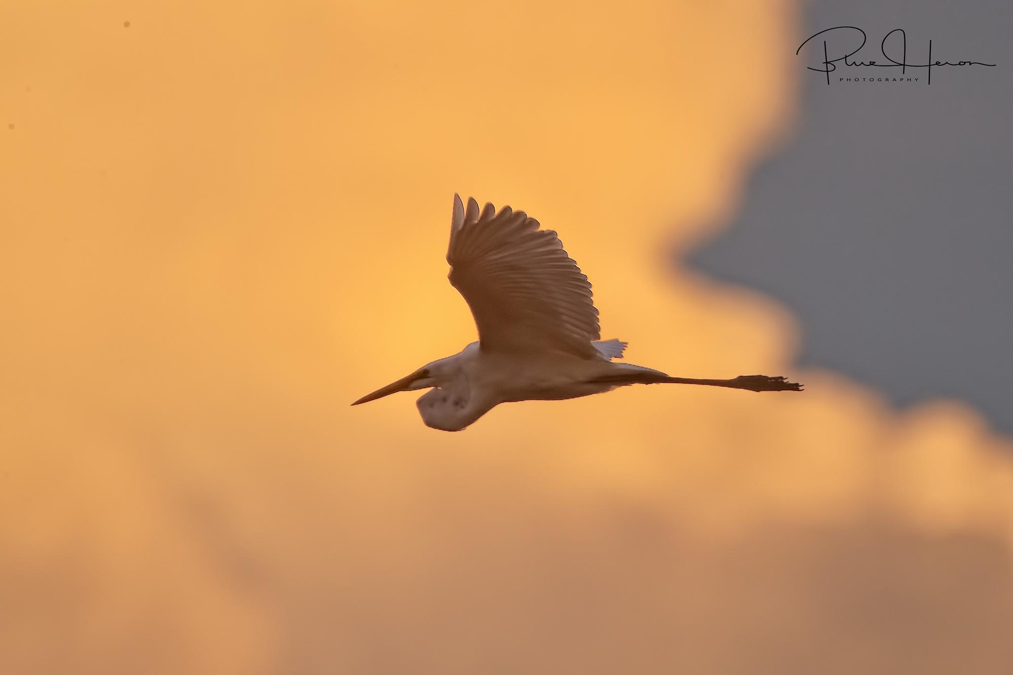 Sundown silhouette of the Goat Egret returning at evening tide..
