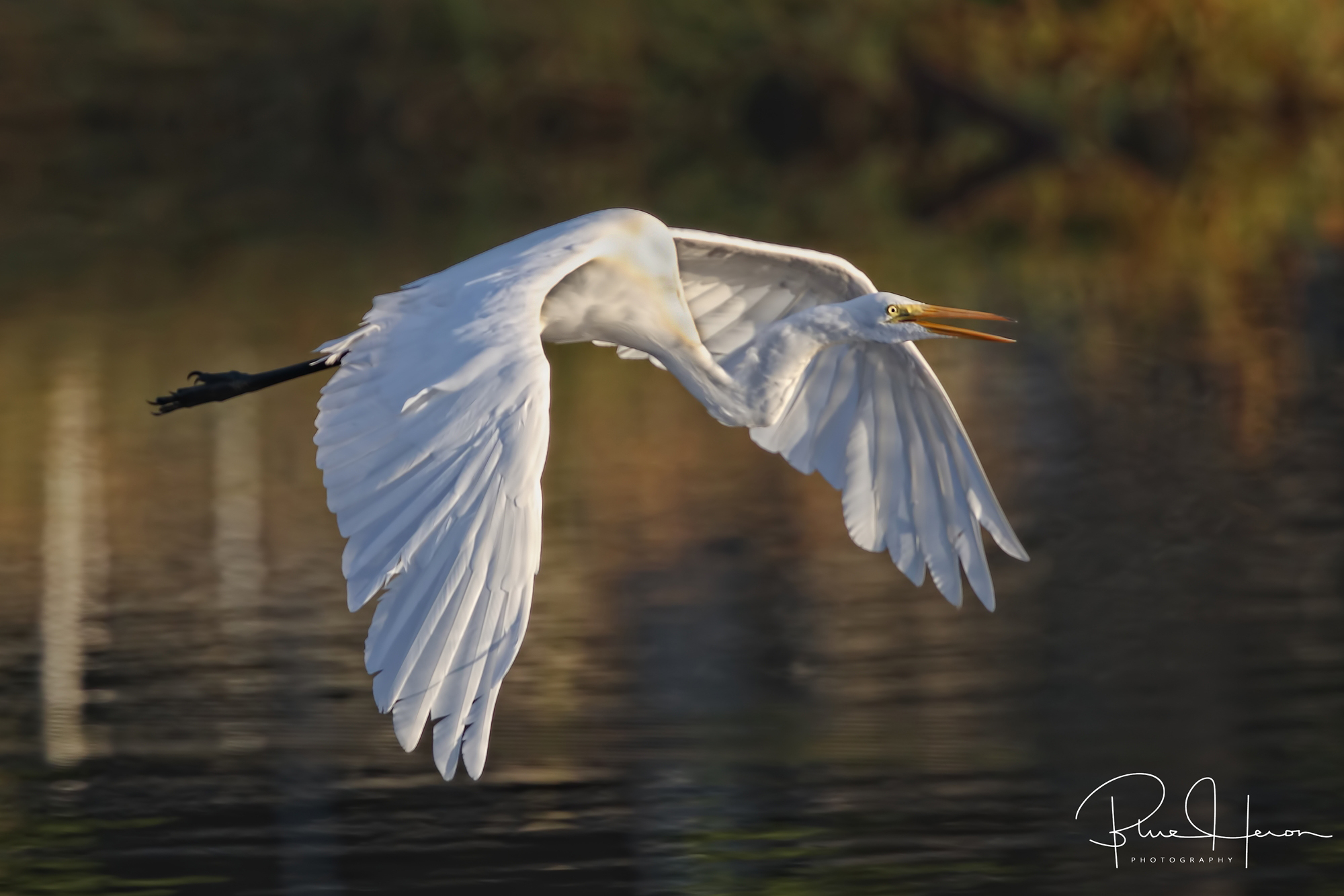 Great Egret greets the morning..Indeed it is a great day to be alive..
