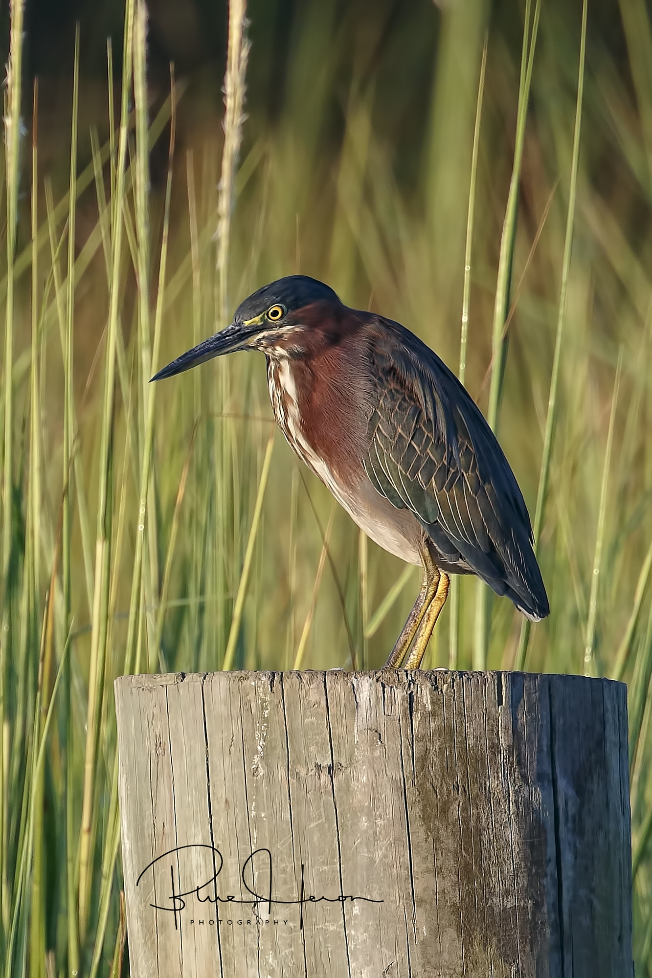 Found a Little Green Heron on the old piling