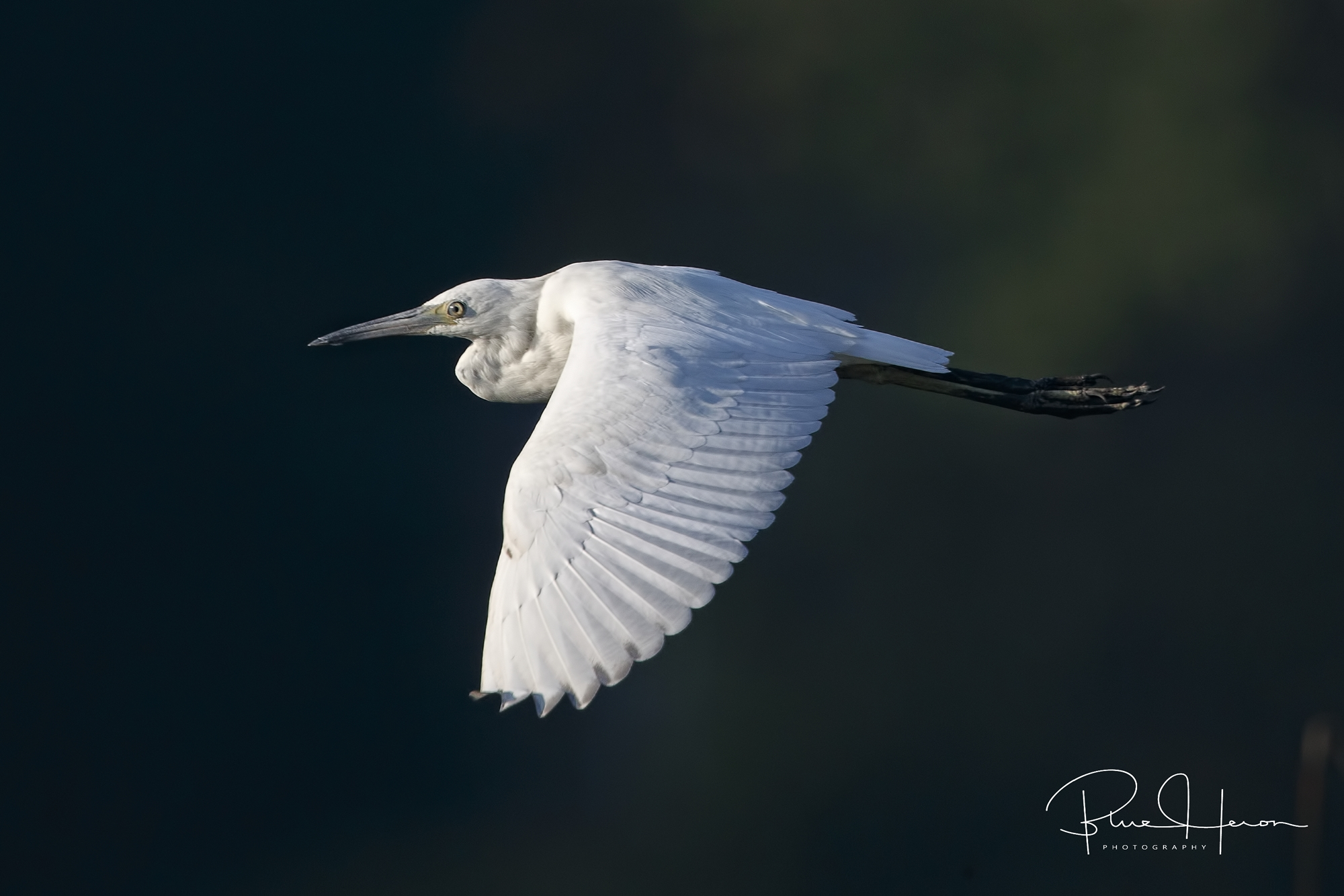 Juvenile Little Blue Heron…they turn blue as they mature, white feathers as juveniles.