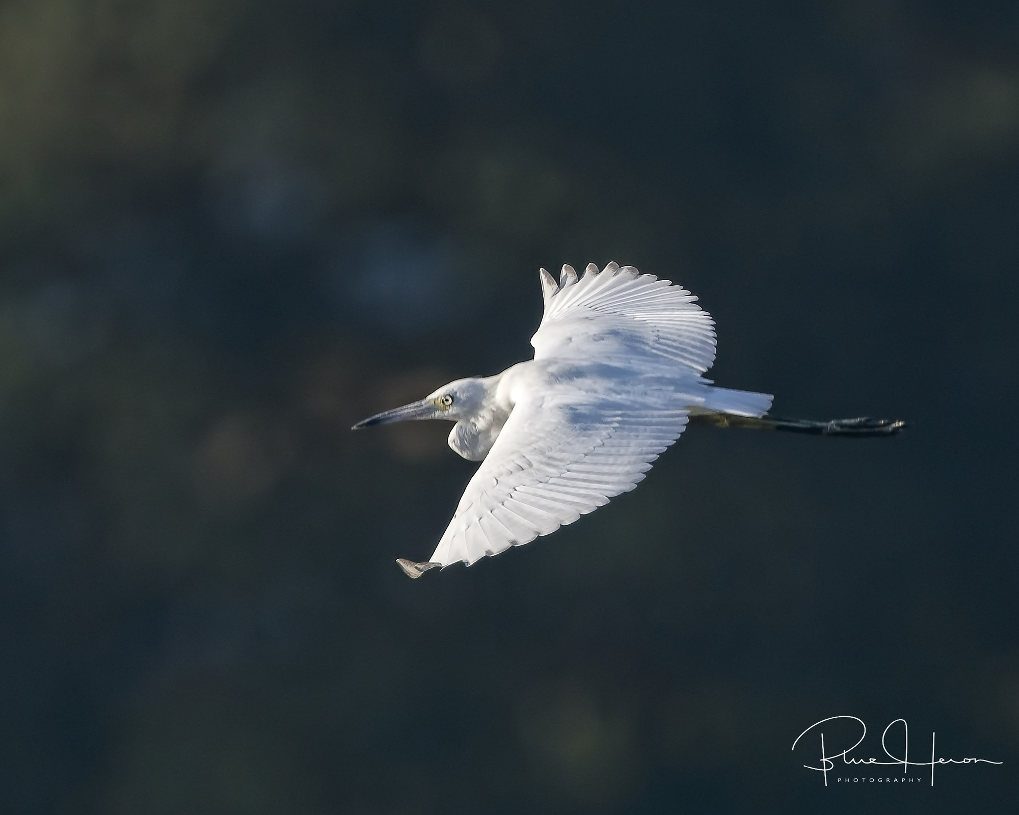 Another topshot…Juvenile Little Blue Heron..