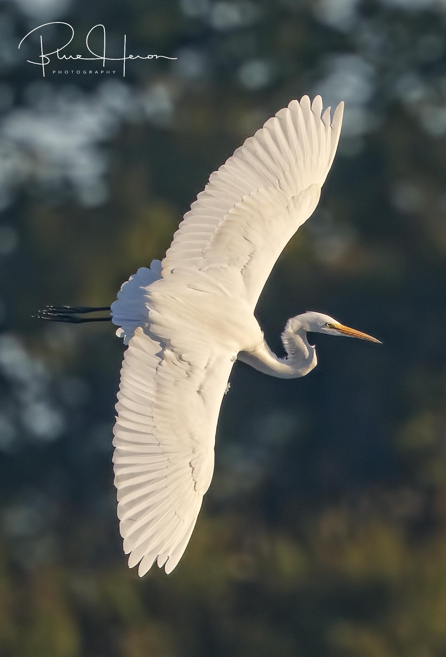 Great Egret banks prior to landing…