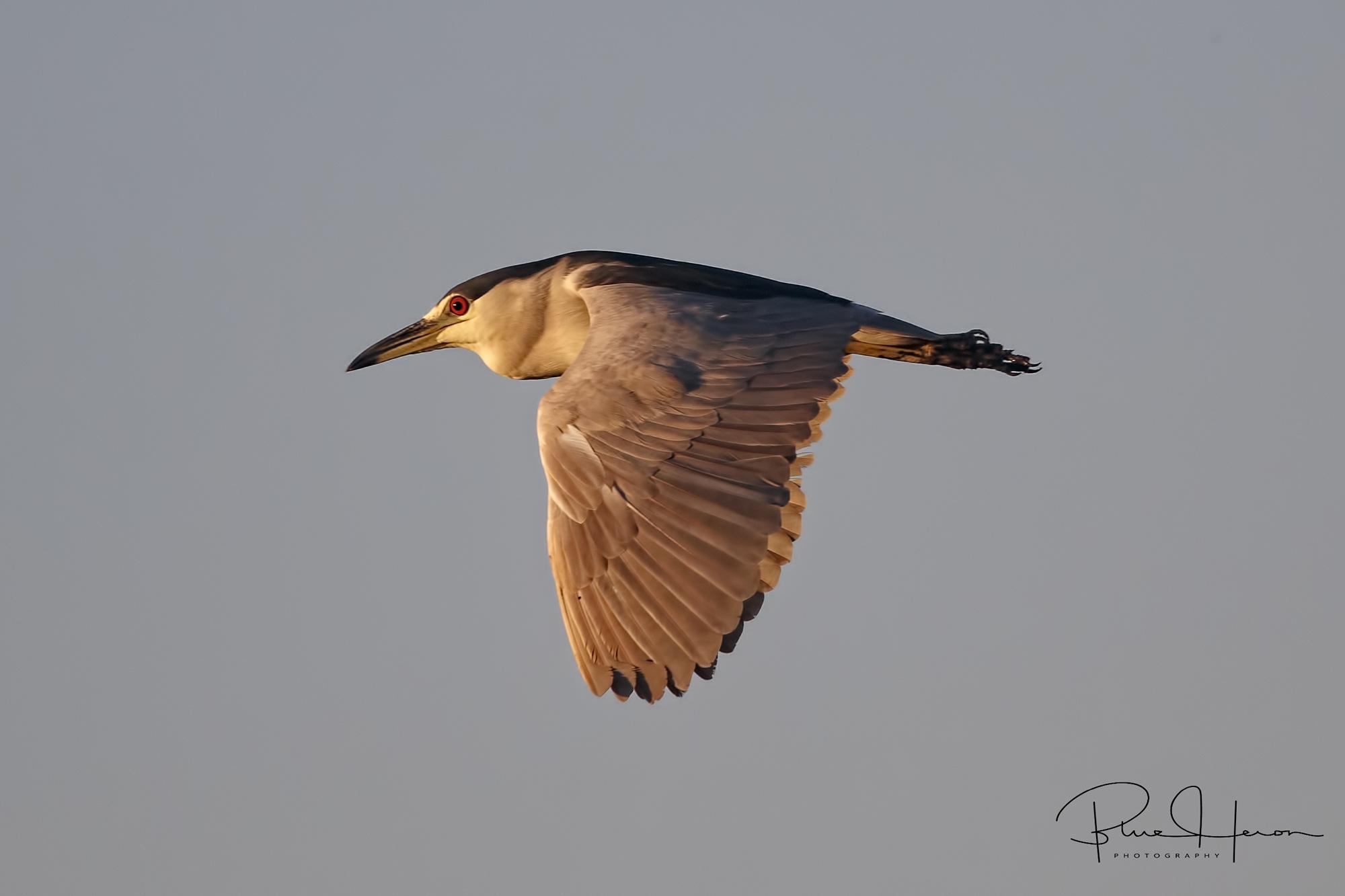 A Black-crowned Night Heron flies over the Broward