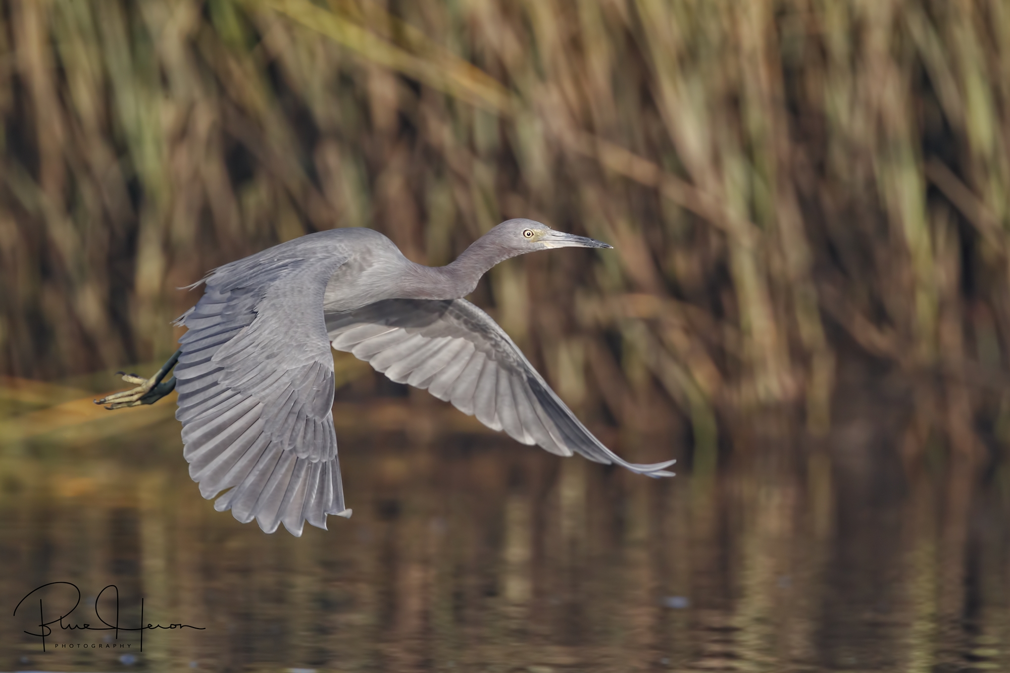 Broward Bob, the Little Blue Heron flies in for breakfast for second place …