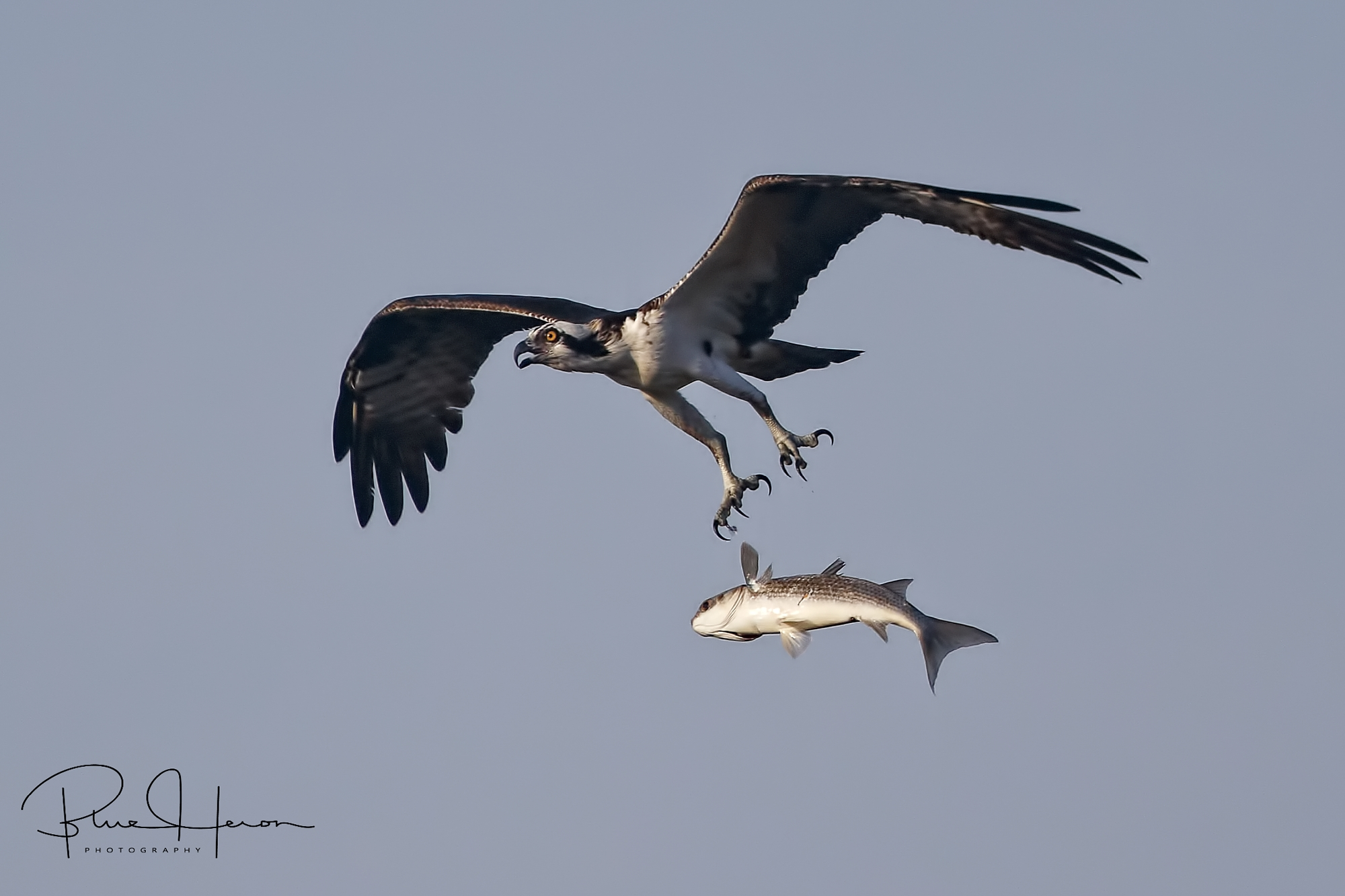 The fish comes loose from the Ospreys grip..not a good day for the Osprey