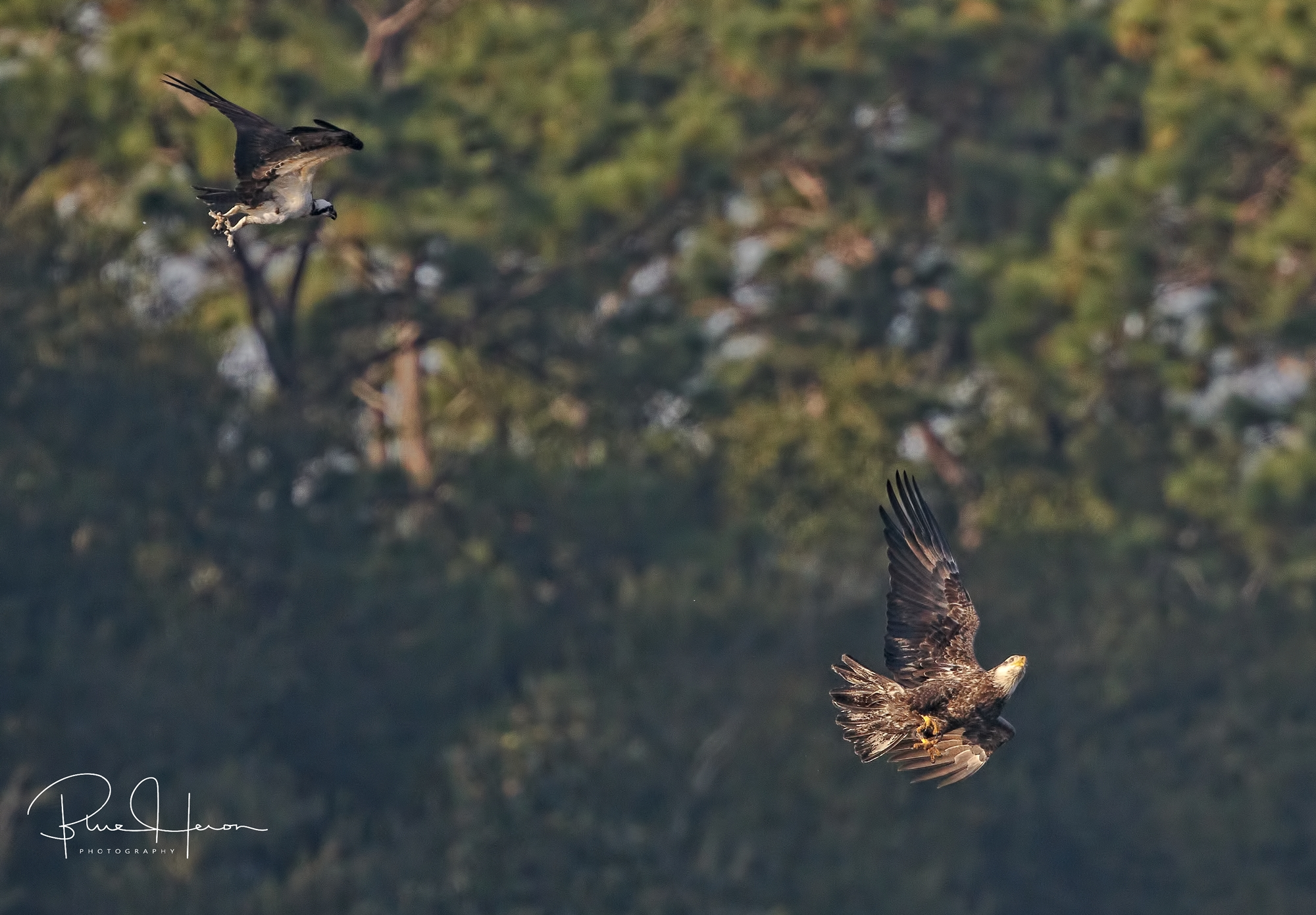 Talons and tempers flare over the Broward, the Osprey goes after the Eagle