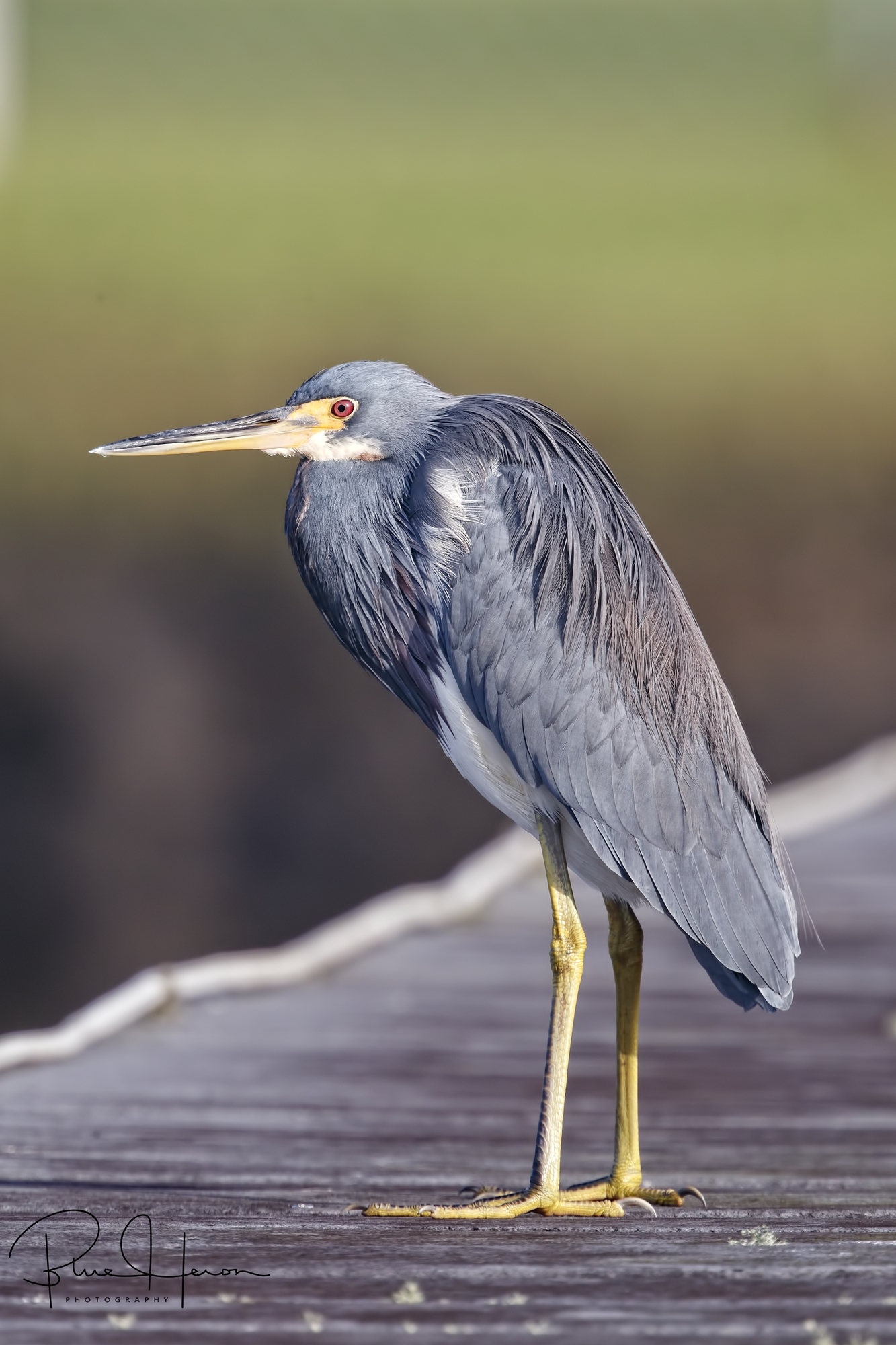 The Tricolored and Little Blue Herons land beside me on the dock. Did you see that Eagle Mr Doohicky?