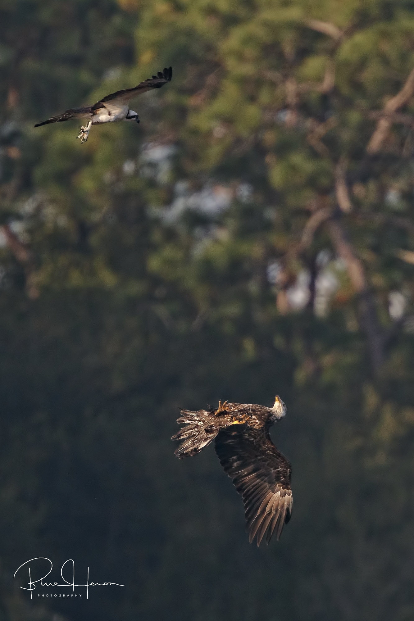 The Eagle rolls over and shows its much larger talons, the conflict is soon over
